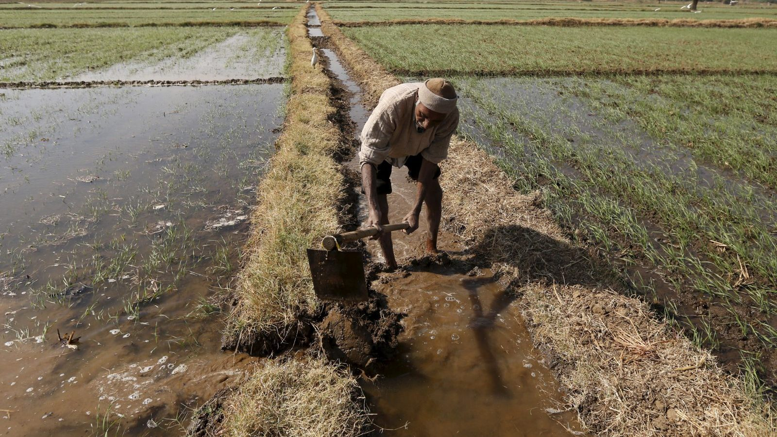 A farmer channels water to irrigate his wheat field on the outskirts of Ahmedabad, India, December 15, 2015. India's Prime Minister Narendra Modi will recalibrate budget priorities in 2016 to focus on social initiatives, such as the country's first major crop insurance scheme, while capping previously prioritised infrastructure spending, officials say. Modi splurged on roads and railways this year in a strategy to spur economic growth. But it came partly at the expense of federal programmes for farmers and the poor, suffering through back-to-back drought years. Picture taken December 15, 2015.   REUTERS/Amit Dave - GF10000266582