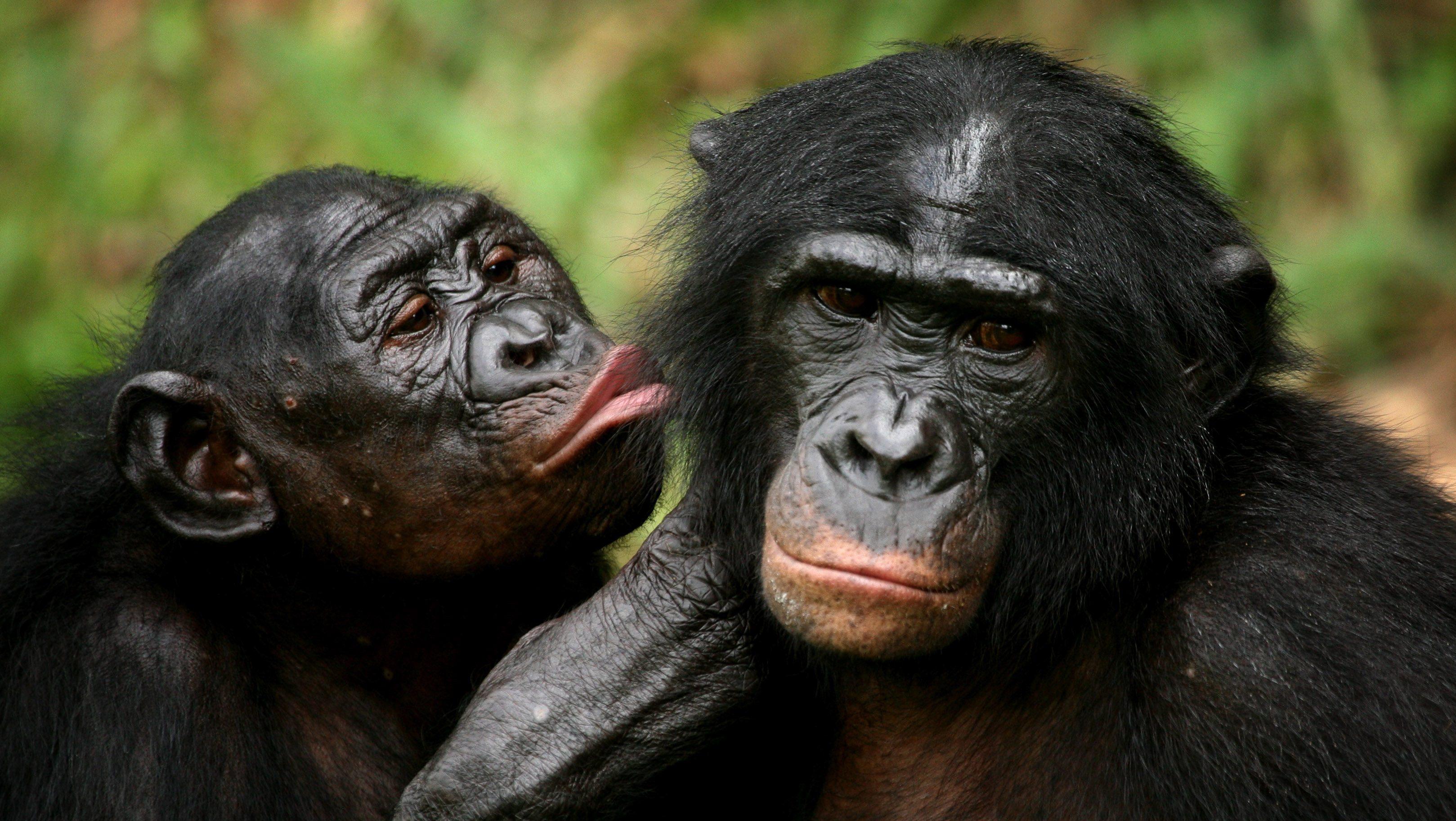 Free Ape Sex Videos apes like mean people — quartz