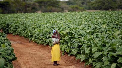 A farm worker looks on during the harvesting of tobacco at Dormervale farm east of Harare