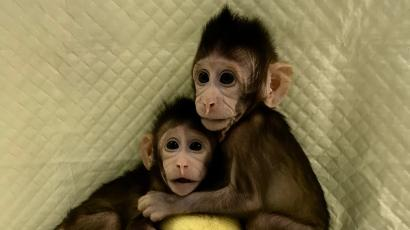 Genetically cloned macaques.