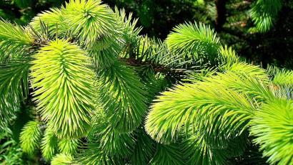 Sitka spruce leaves.
