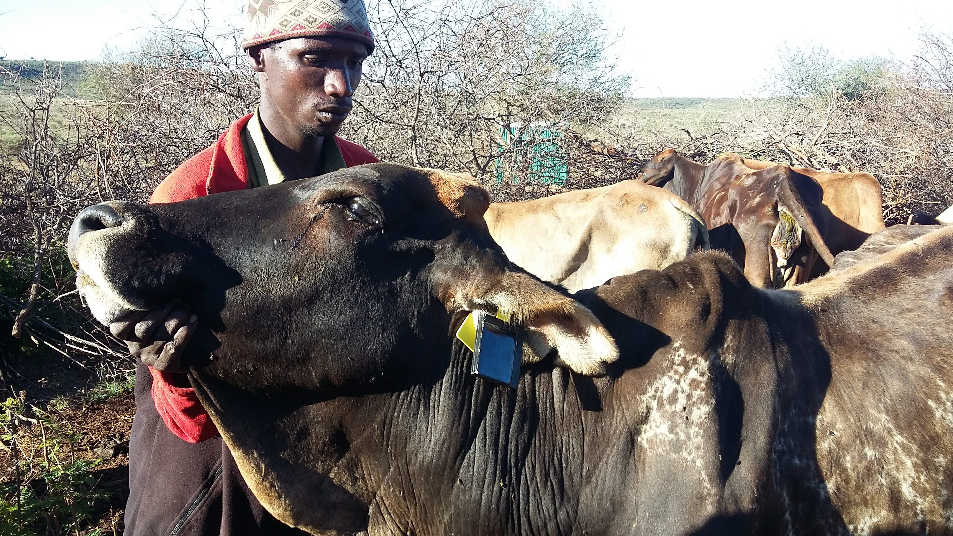 Climate Change Kenya Cattle Theft Tackled With Remote