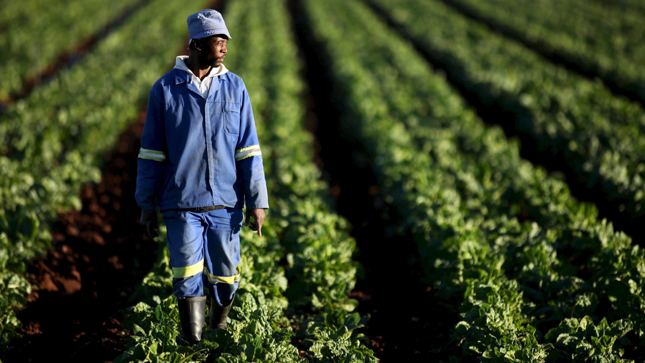 A farm worker walks between rows of vegetables at a farm in Eikenhof, south of Johannesburg, May 13, 2015. Southern Africa faces possible food shortages over the next few months due to a severe drought in the 'maize belt' of South Africa, where a lack of rain had caused crop failure rates of over 50 percent, the World Food Programme (WFP) said on Monday. In South Africa, the WFP said maize production was estimated to have dropped by a third compared with last year, putting it on track for a harvest of 9.665 million tonnes, its worst in eight years. REUTERS/Siphiwe Sibeko  - GF10000093476