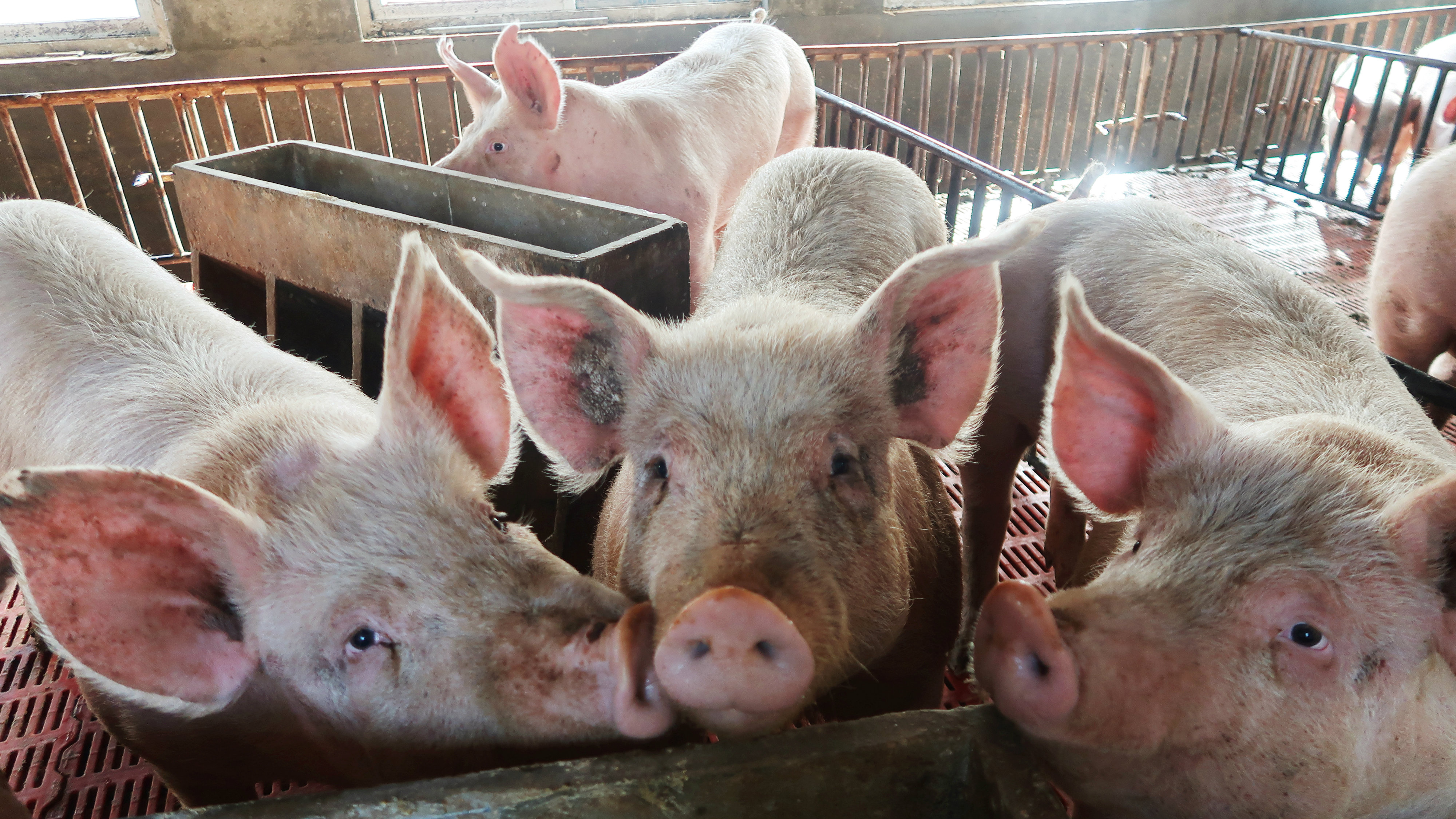 Pigs are seen on a family farm in Xiaoxinzhuang village, Hebei province