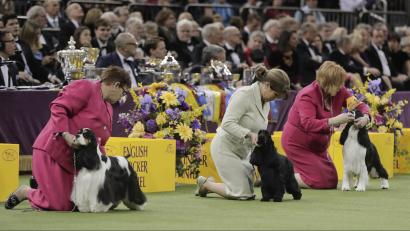 westminster kennel club 2018 why male dogs usually win the