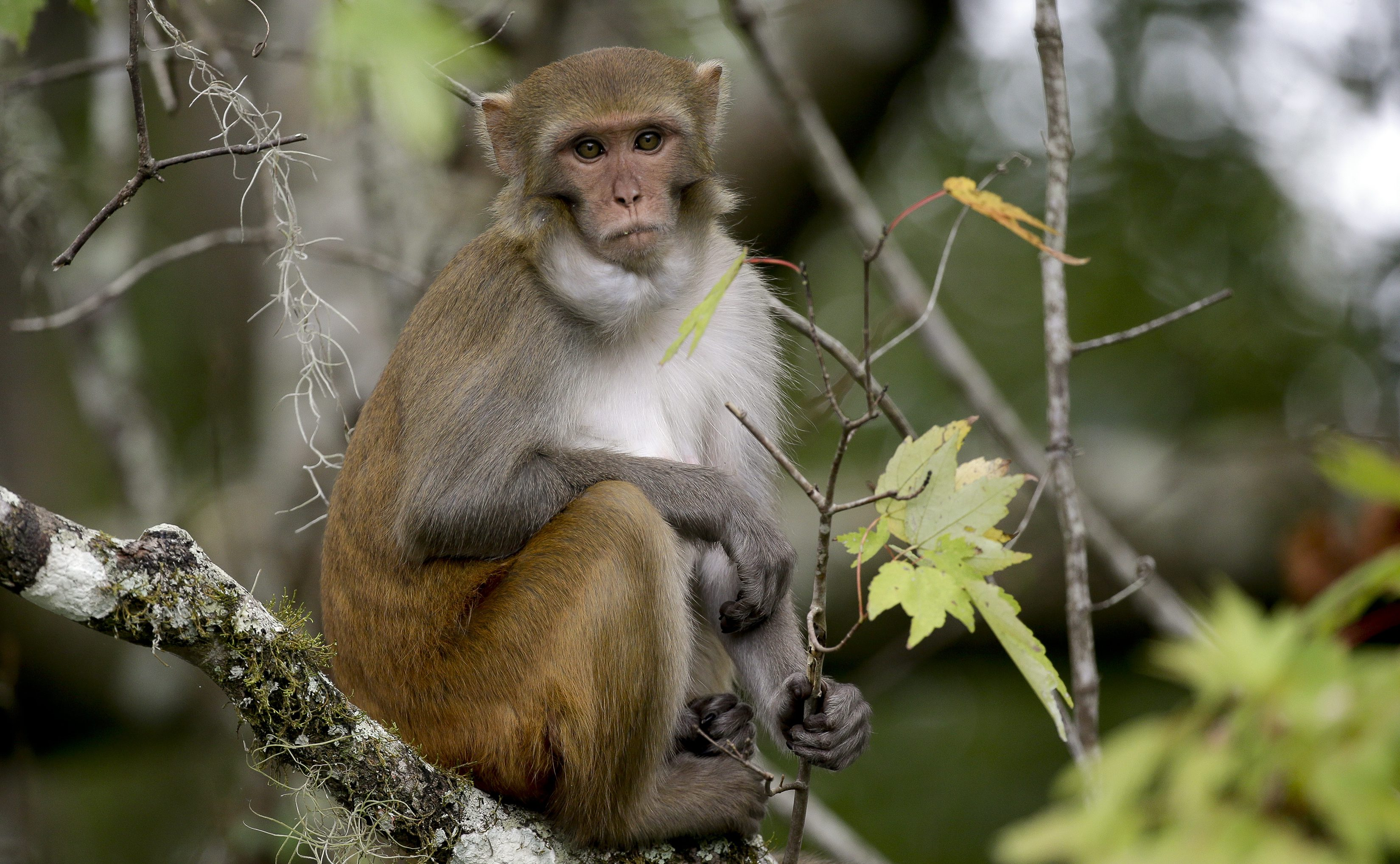 Sex in advertising works on monkeys according to a new study quartz 10 2017 photo a rhesus macaques monkey observes voltagebd Choice Image