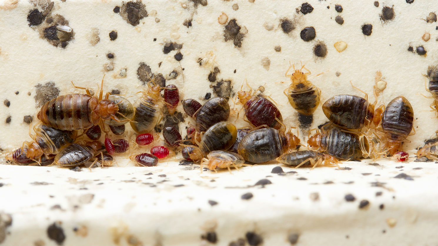 Bed Bugs Produce Histamines That Linger For Months After They Re
