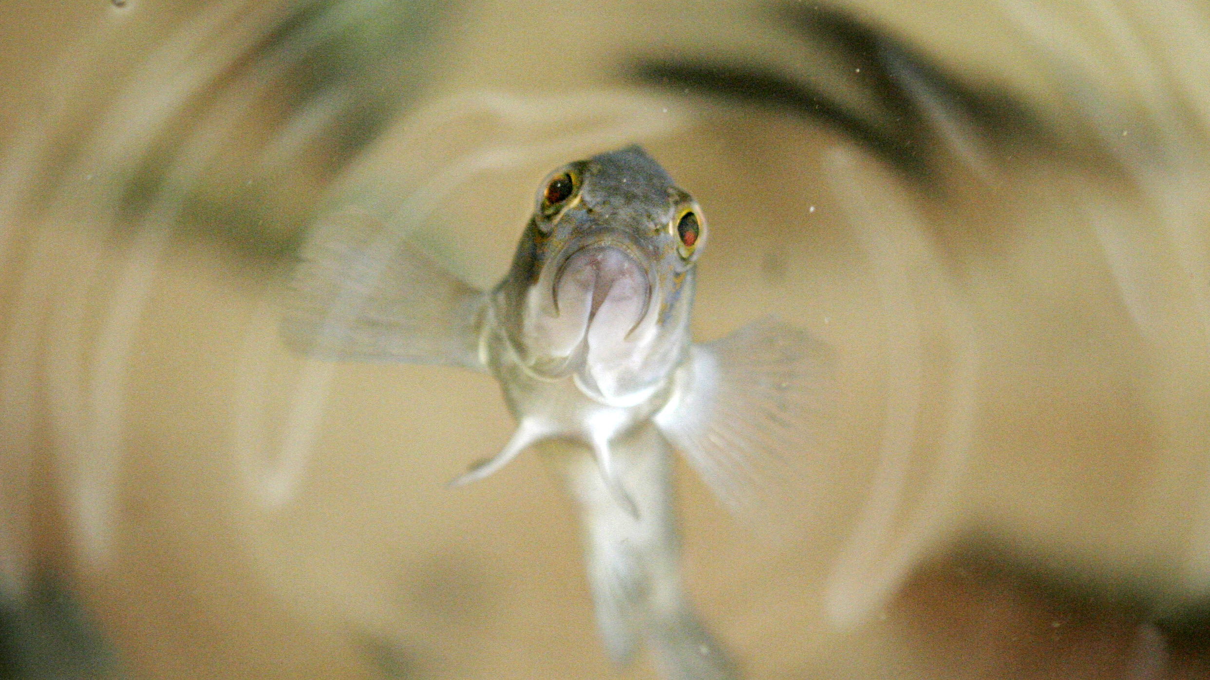 The Amazon molly is all-female fish species that's changing