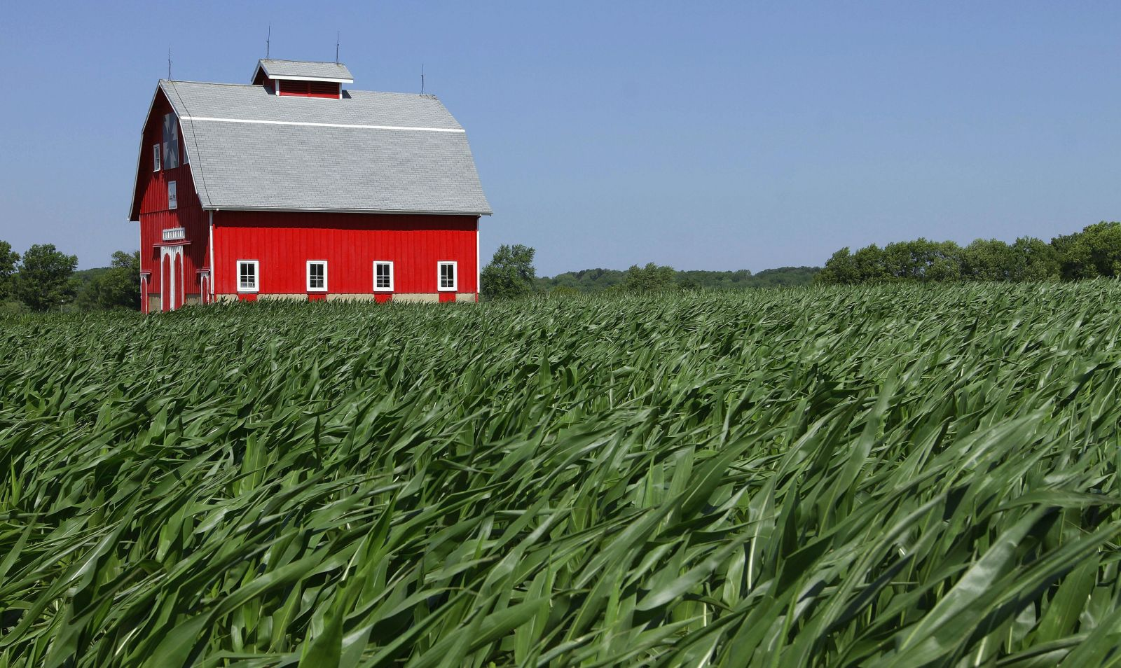 A barn is seen surrounded by corn swept over by strong winds moving through the Midwest Wednesday, June 20, 2012 near Kenney, Ill.