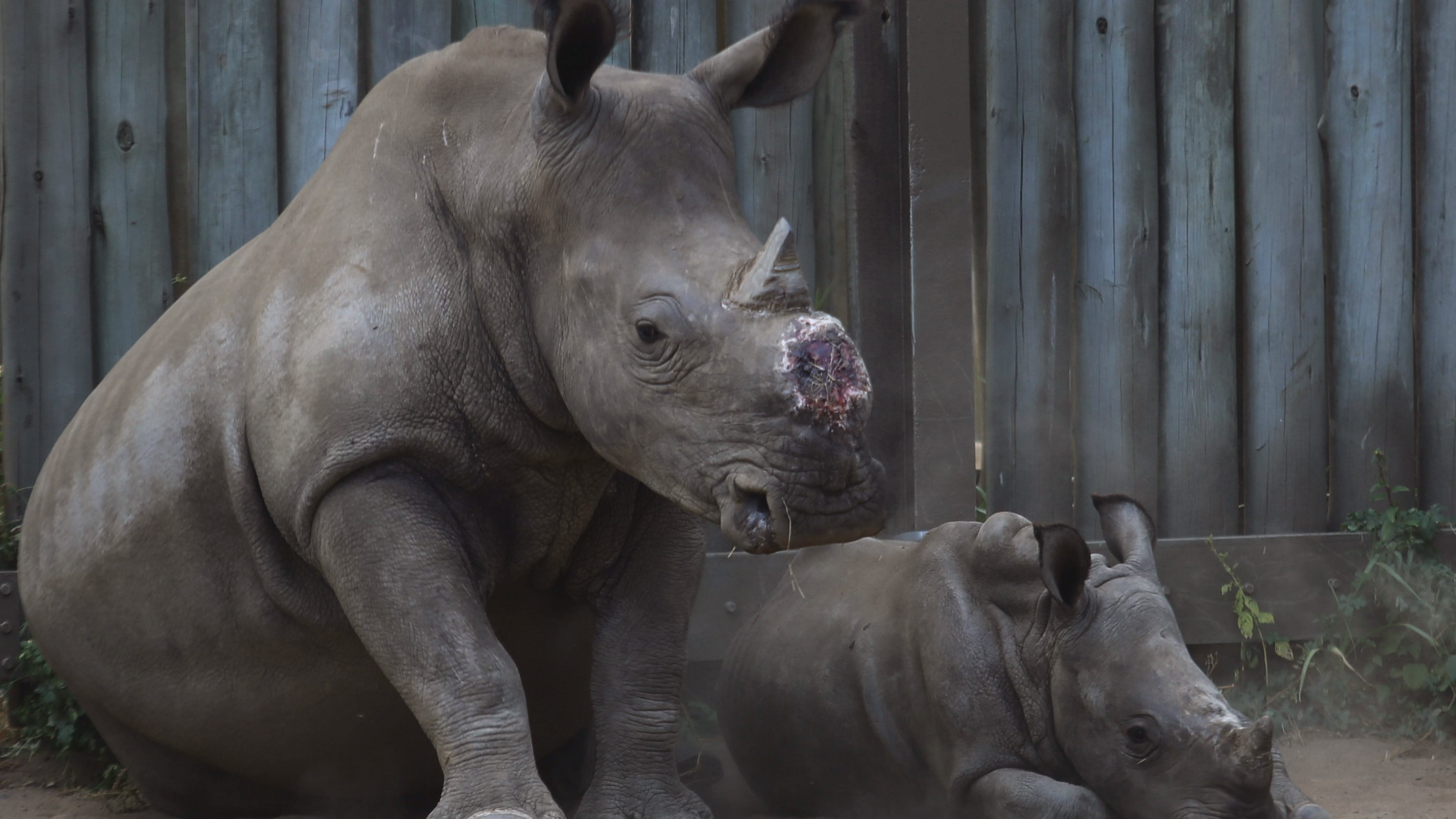 FILE -- In this file photo taken Monday, Feb. 15, 2016 a dehorned rhino and her calf in their corral at a rhino orphanage in the Hluhluwe-iMfolozi Game Reserve in the KwaZulu Natal province South Africa. Eager to stop wildlife poaching, some in Africa are taking the drastic step to de-horn rhinos before the illegal hunters do.