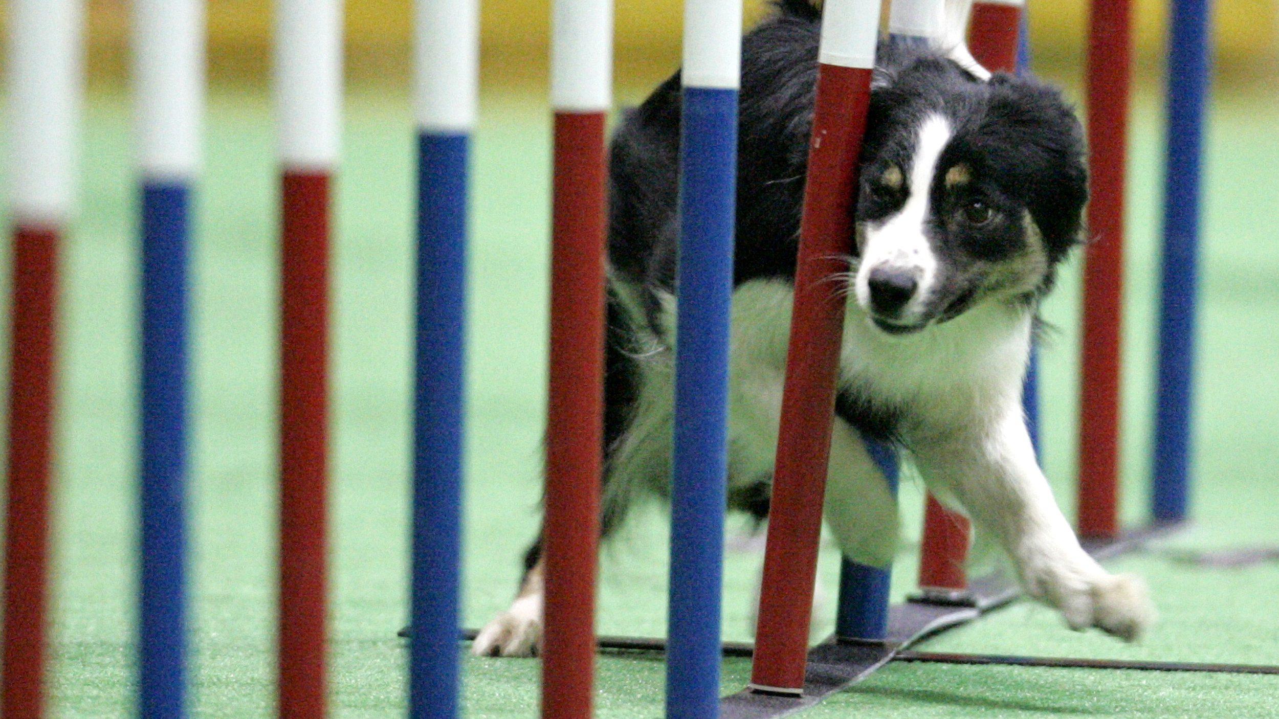 Dog shows — Quartz Daily Obsession