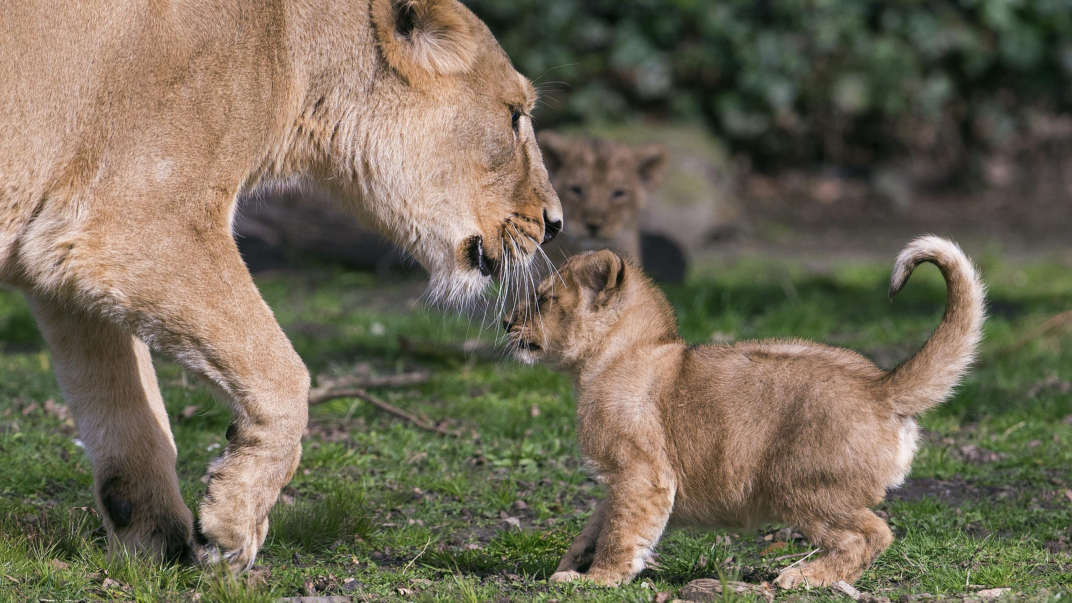 An Asian lion cub, born on January 25, 2016, plays with his mother Lorena while being presented to the public at the Planckendael Park in Mechelen