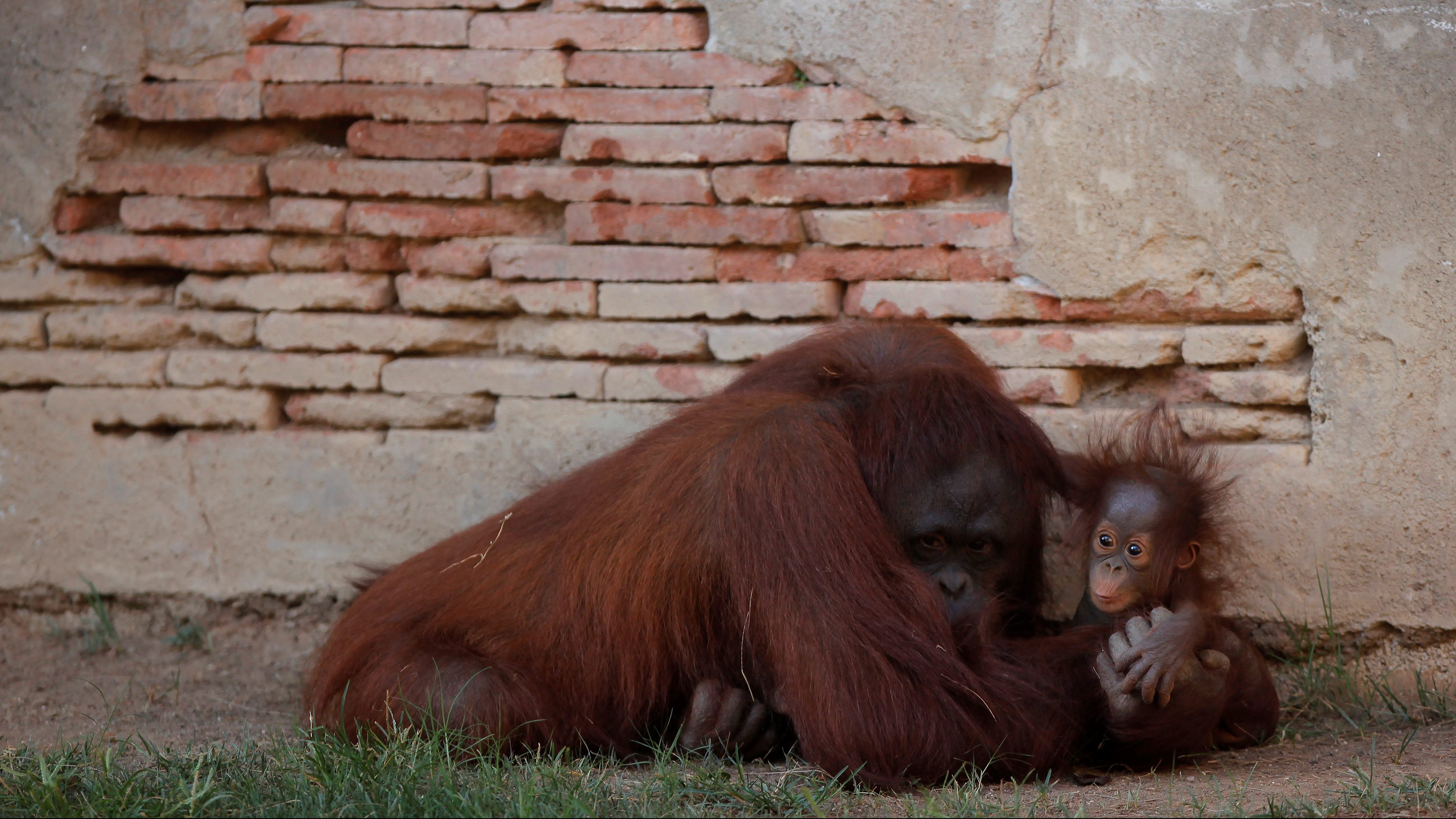A five-month-old baby female Bornean orangutan (Pongo pygmaeus) plays with her mother Sulli at Bioparc Fuengirola in Fuengirola, near Malaga, southern Spain, September 12, 2016.