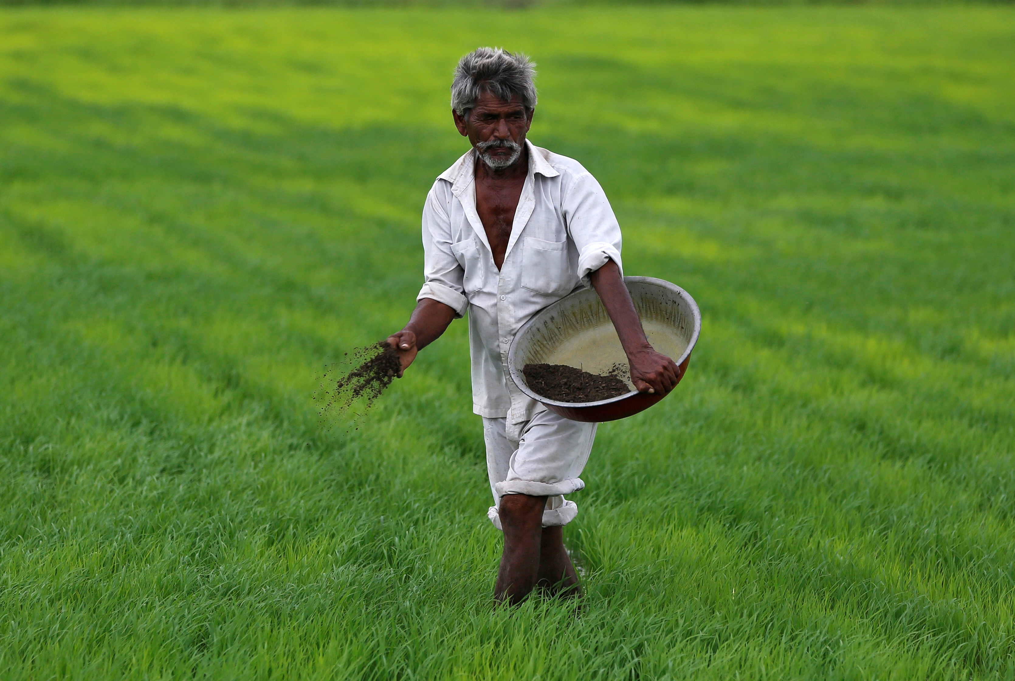 A farmer in his paddy field on the outskirts of Ahmedabad, Gujarat in July 2017.