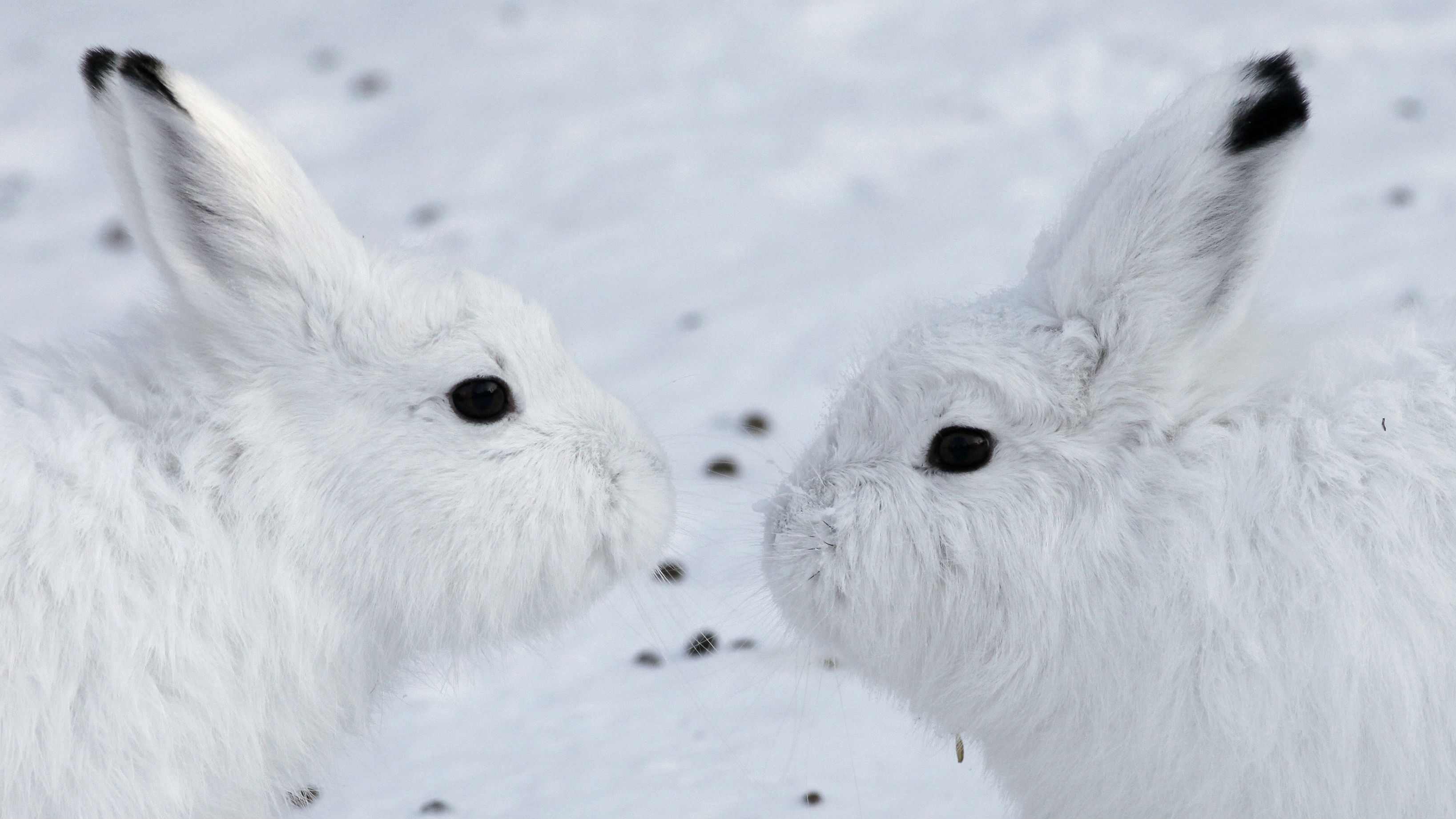Two white hares about to kiss.