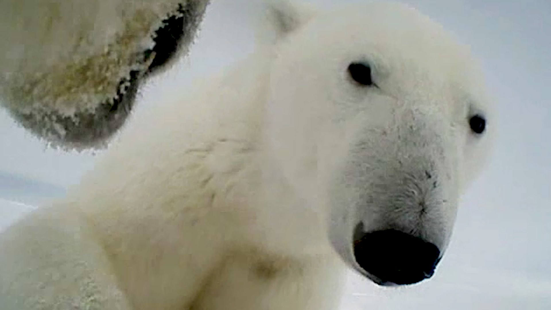 Polar bears are struggling to catch enough food to sustain themselves, even before ice caps melt for the summer.