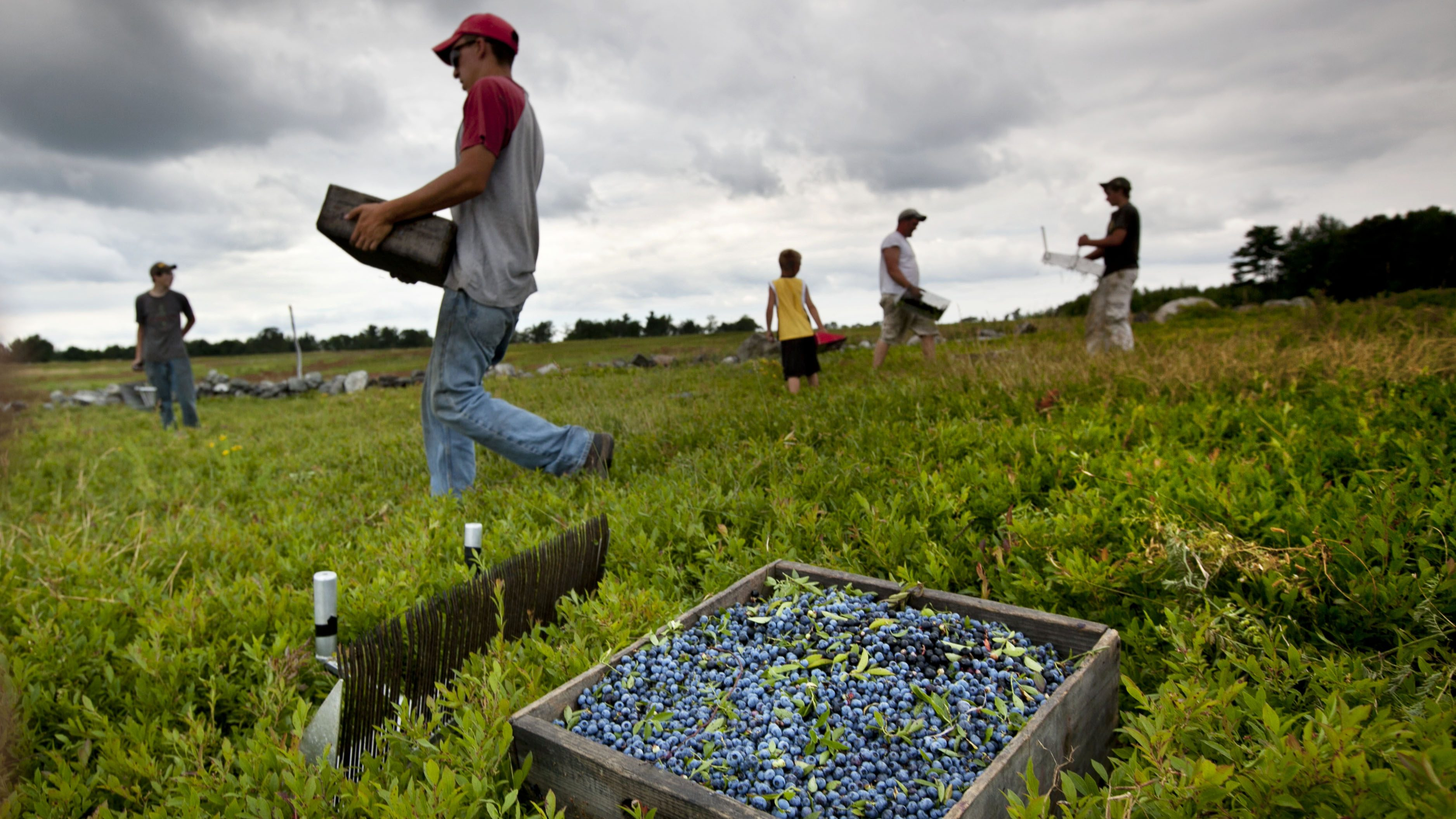 In this photo made Friday, July 27, 2012, workers harvest wild blueberries at the Ridgeberry Farm in Appleton, Maine. Maine is the country's top wild blueberry state.