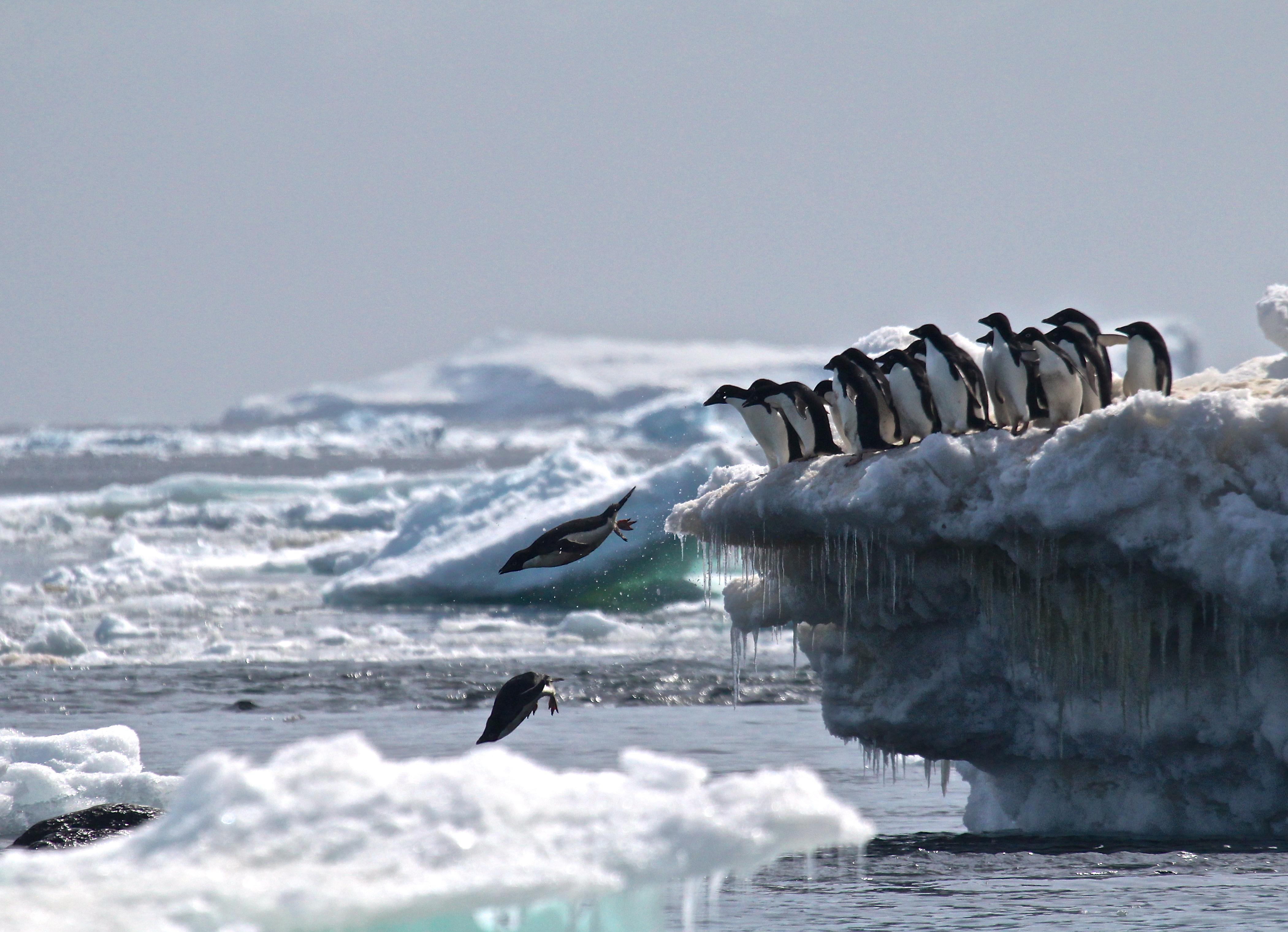 "Adélie penguins jumping of iceberg, Danger Islands, Antarctica"""