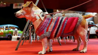 A dog wearing a sweater.