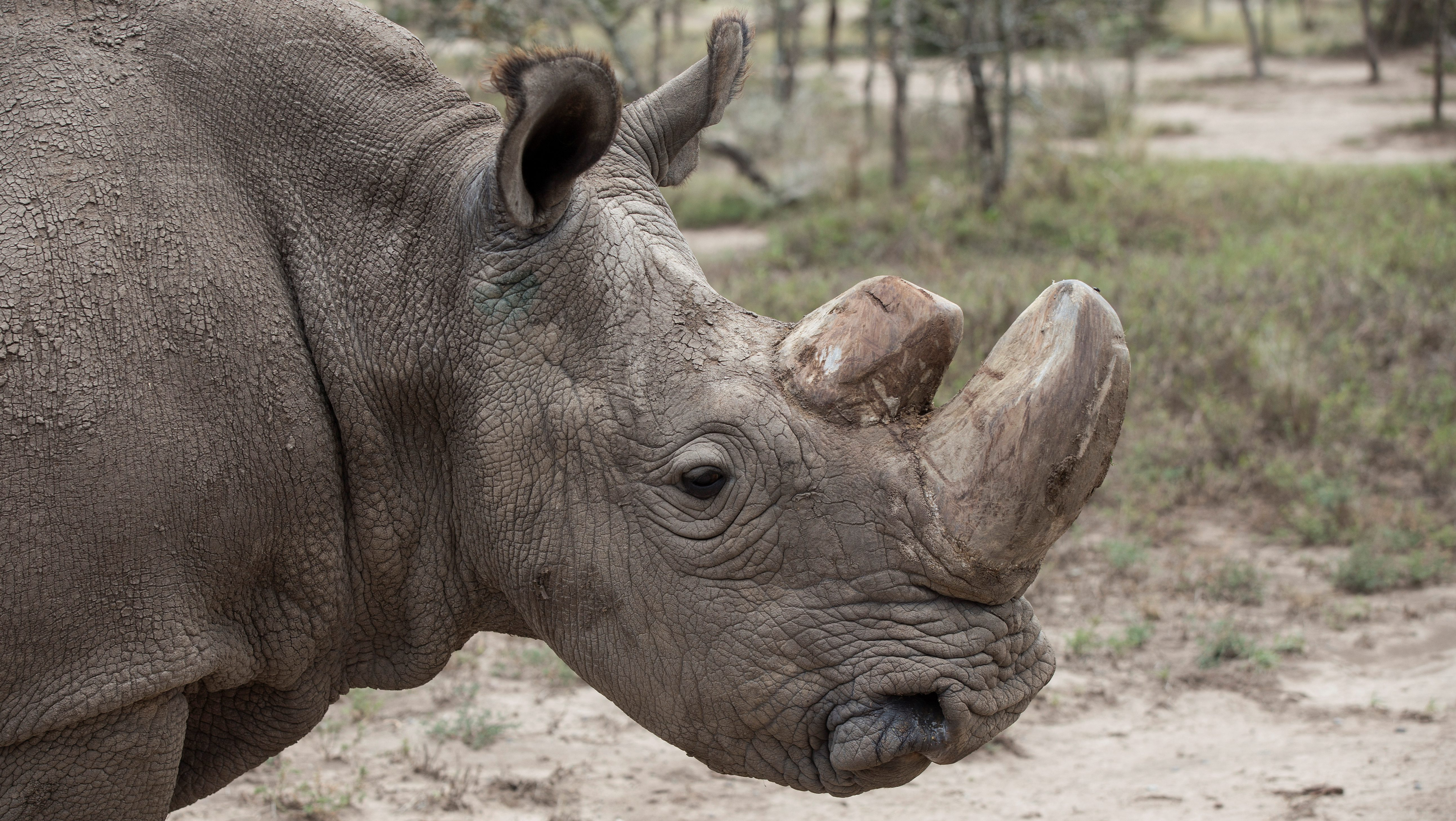 FILE PHOTO: Sudan, the last surviving male northern white rhino, grazes in Laikipia National Park
