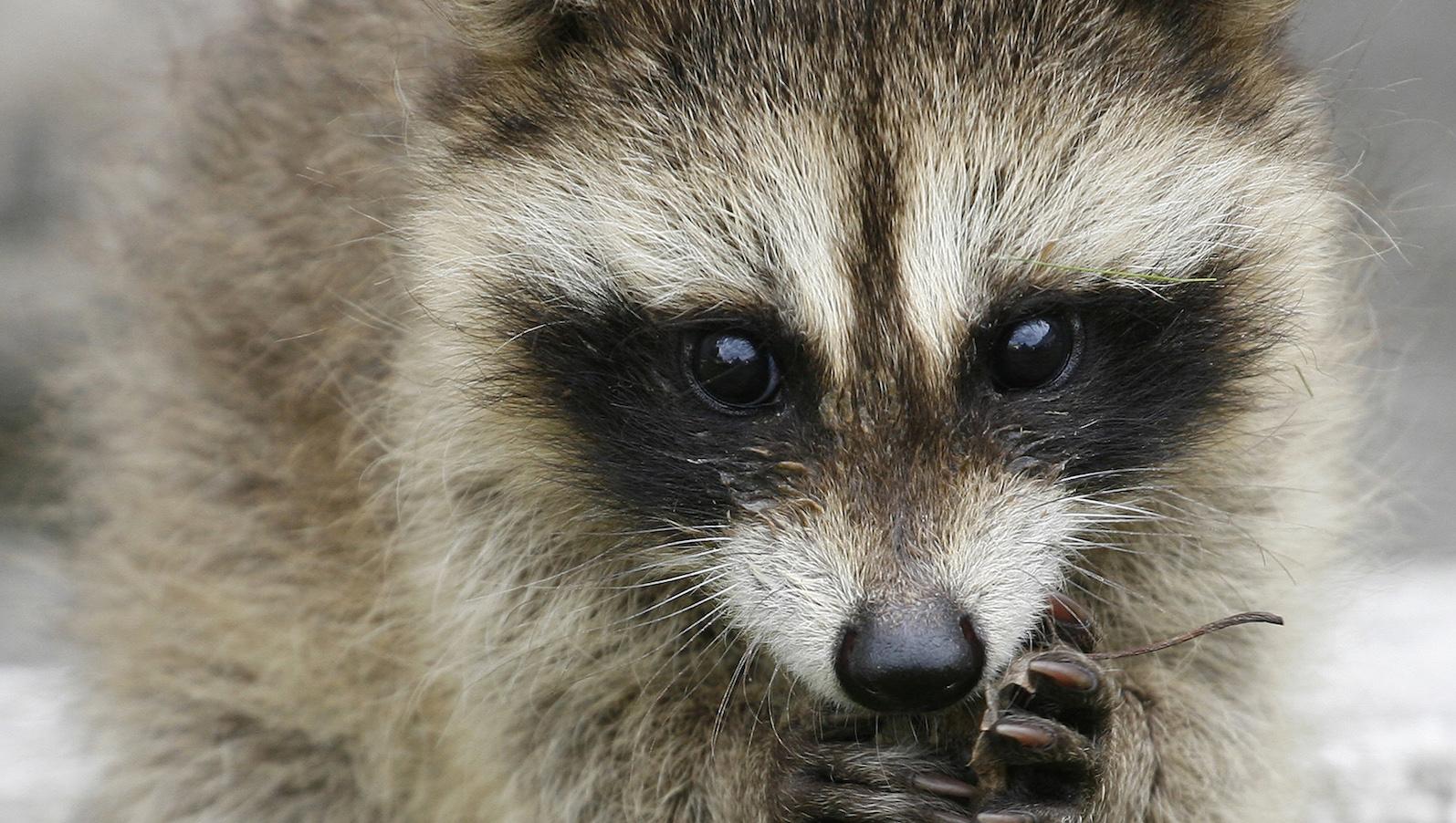 A raccoon cub at the Royev Ruchey zoo in the Siberian city of Krasnoyarsk.