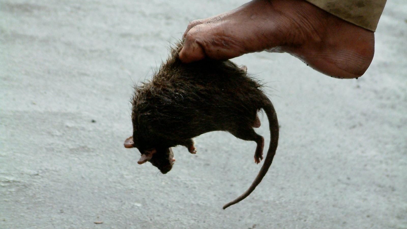 Rats | Multnomah County
