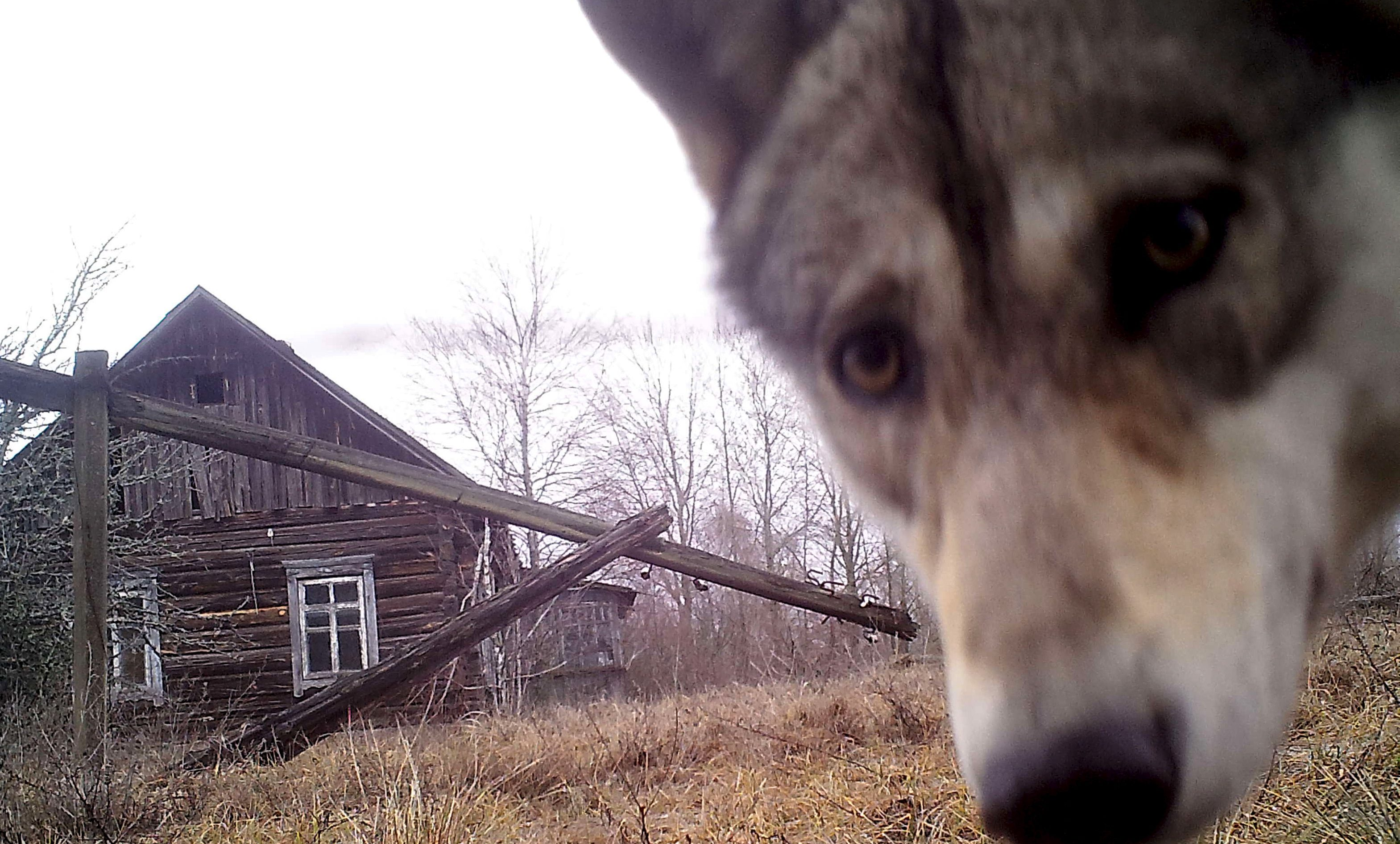 """A wolf looks into the camera at the 30 km (19 miles) exclusion zone around the Chernobyl nuclear reactor in the abandoned village of Orevichi, Belarus, March 2, 2016. What happens to the environment when humans disappear? Thirty years after the Chernobyl nuclear disaster, booming populations of wolf, elk and other wildlife in the vast contaminated zone in Belarus and Ukraine provide a clue. On April 26, 1986, a botched test at the nuclear plant in Ukraine, then a Soviet republic, sent clouds of smouldering radioactive material across large swathes of Europe. Over 100,000 people had to abandon the area permanently, leaving native animals the sole occupants of a cross-border """"exclusion zone"""" roughly the size of Luxembourg. Photo taken with trail camera.  REUTERS/Vasily Fedosenko   SEARCH """"WILD CHERNOBYL"""" FOR THIS STORY. SEARCH """"THE WIDER IMAGE"""" FOR ALL STORIES   TPX IMAGES OF THE DAY - GF10000372384"""