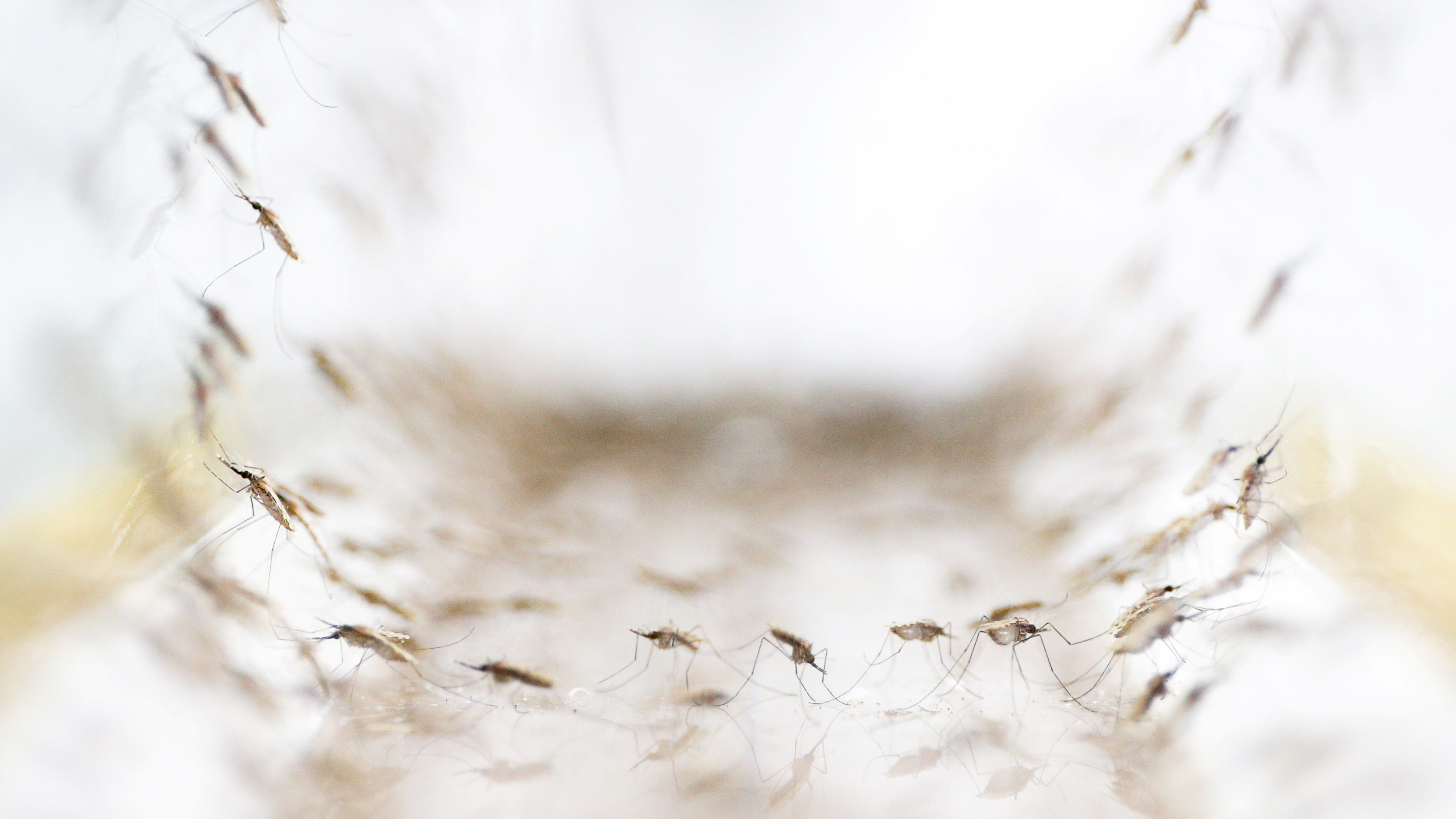 Anopheles minimus mosquitoes are pictured at a lab in the Public Health Ministry in Bangkok, Thailand, November 9, 2017. Picture taken November 9, 2017.