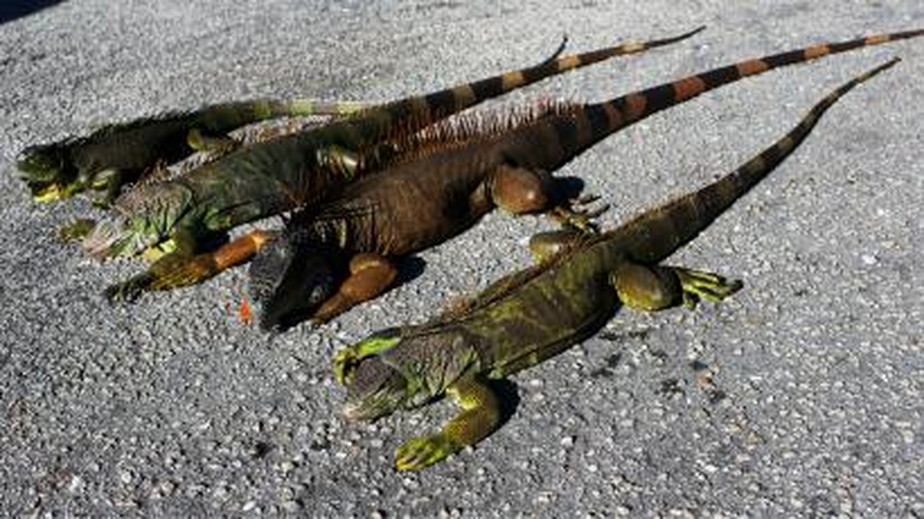 Iguanas in Florida
