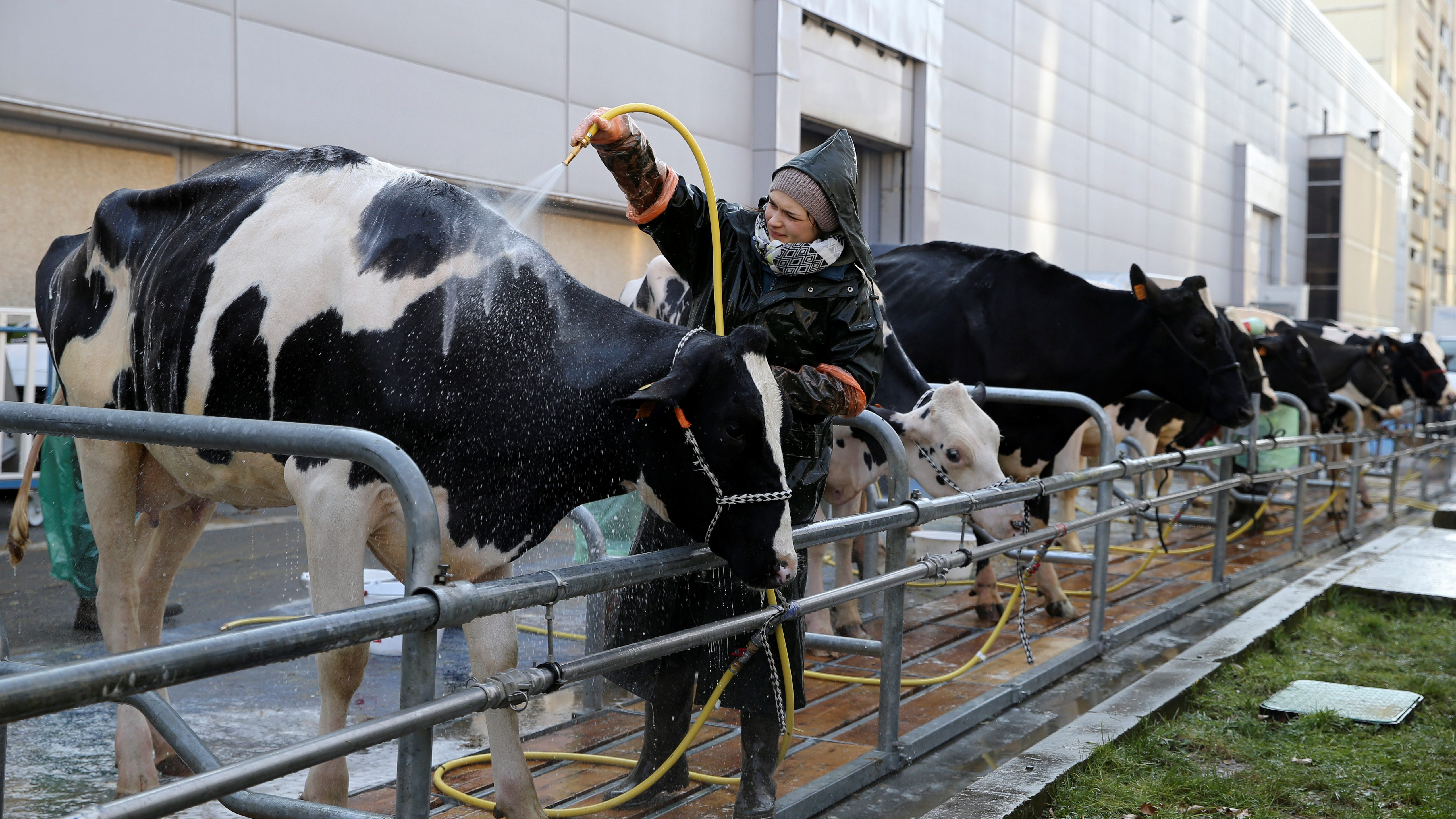 A farmer hoses down a Prim'Holstein milk cow at the 2018 Paris International Agricultural Show as preparations continue on the eve of the opening of the farm show in Paris, France, February 23, 2018.    - RC122E94C020