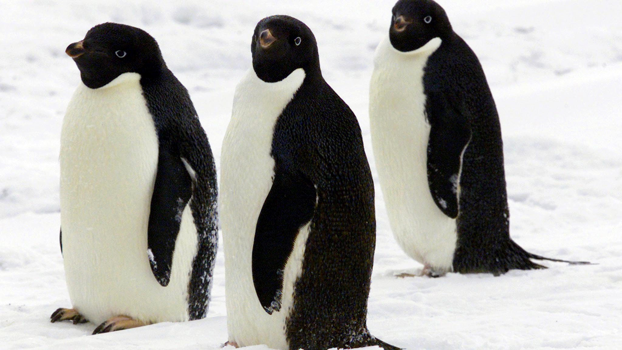 three adelie penguins walk together