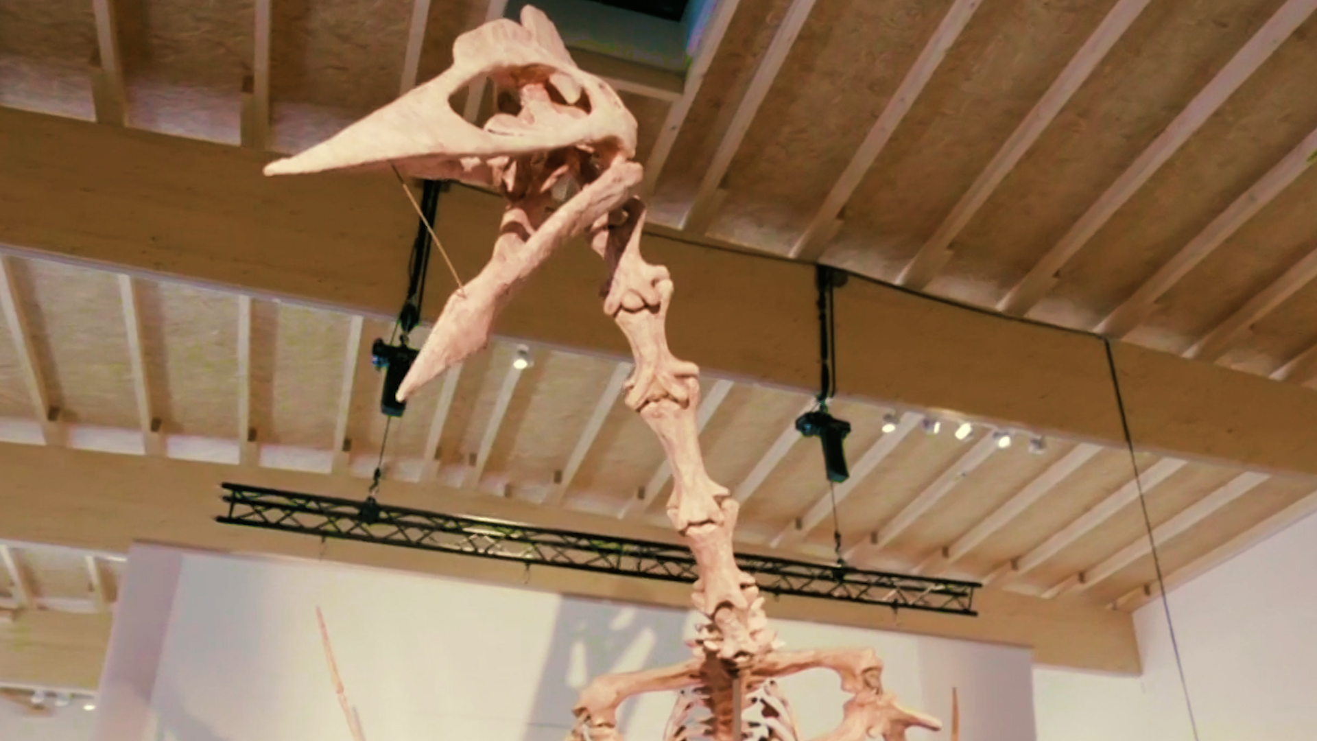 Meet Dracula, the gargantuan pterosaur, like a pterodactyl, now on display for the first time.