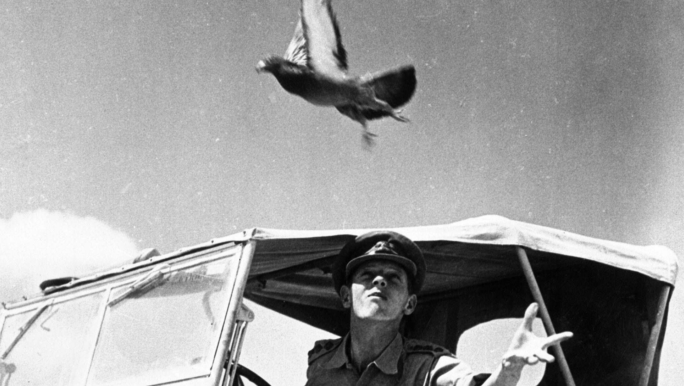 An officer of the Royal Signal Corps, a pigeon fancier in civilian life, releases a carrier pigeon in Egypt's Western Desert, destined to return to headquarters with a message, in 1942.  (AP Photo)