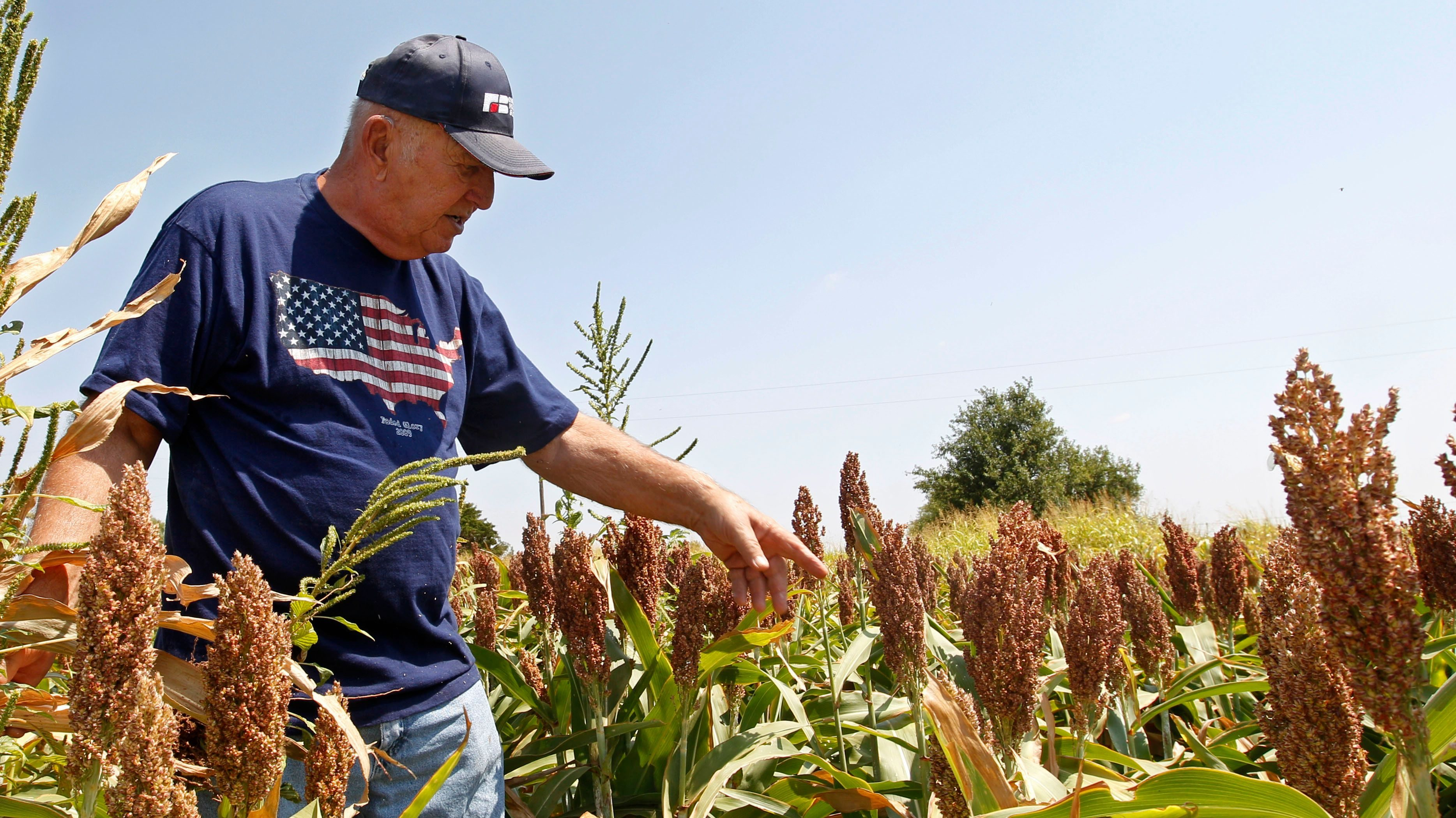 Gary Johnson walks through a field of milo sorghum on his farm in Waukomis, Okla, Wednesday, Aug. 15, 2012. The government is on the verge of approving sorghum, a grain mainly used as livestock feed, to make a cleaner version of ethanol.