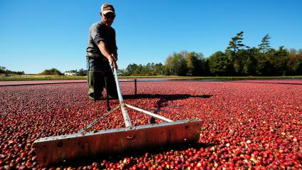 Workers harvest cranberries from one of third-generation farmer Larry Harju's bogs in Carver