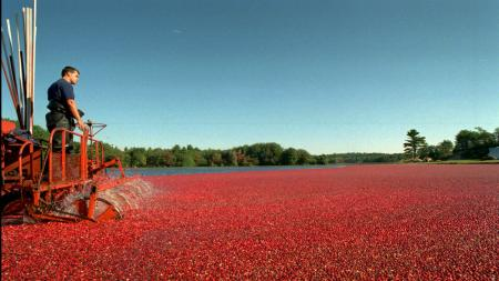 Cranberry picker Craig Weston operates a water reel in Slugg Bog on the R.A.S.P. Cranberry farm in Carver, Mass., at daybreak on Thursday, Sept. 28, 1995. The water reel slaps the floating cranberries off the vines, and then they are gathered with booms and pumped from the water. These cranberries will be used for juices and sauces. (AP Photo/C.J. Gunther