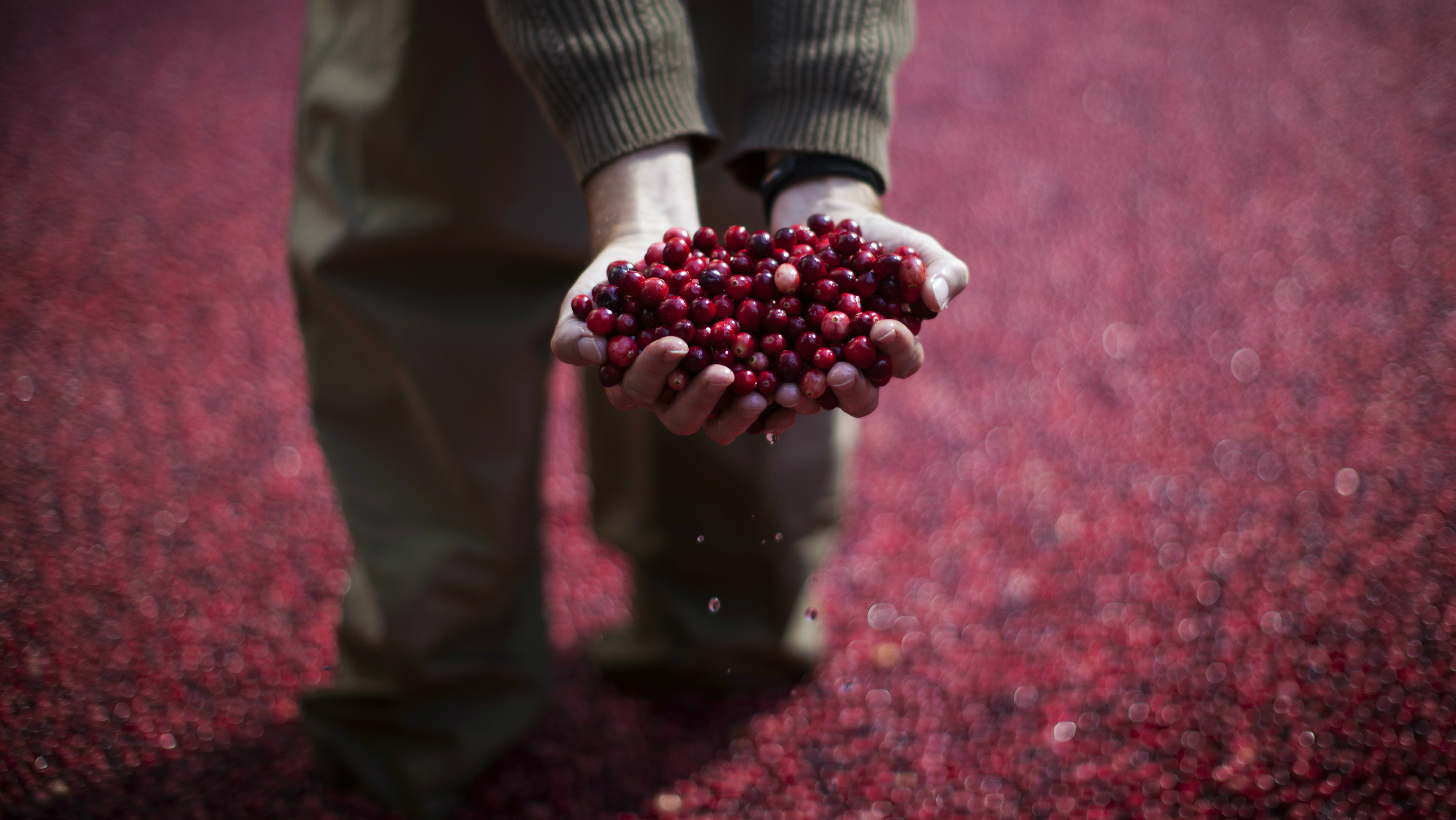 An employee of the Ocean Spray company holds cranberries as he stands in a pool of some 2000 pounds (907 kg) of floating cranberries at a promotional cranberry bog display set up at New York's Rockefeller Center, October 17, 2014. The exhibit in the heavily trafficked area of midtown Manhattan has cranberry farmers and scientists from the company on hand to answer questions about their cranberry products' health benefits and the growing process. REUTERS/Mike Segar (UNITED STATES - Tags: SOCIETY FOOD AGRICULTURE BUSINESS TPX IMAGES OF THE DAY)