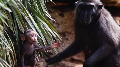 Nachi and baby Nina, crested macaques
