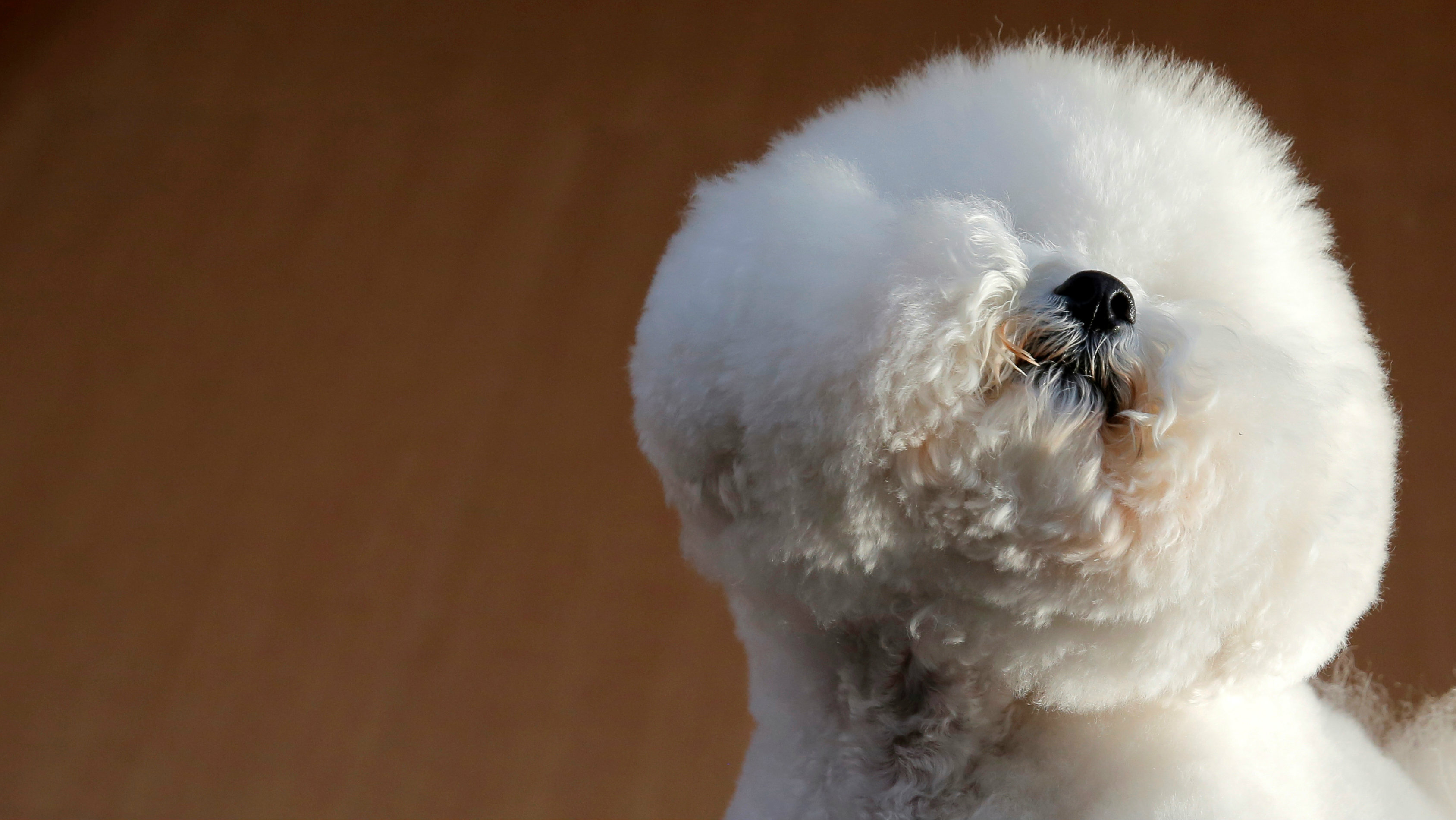 """Flynn, a Bichon Frise, appears at the One World Observatory a day after winning the """"Best in Show"""" at the Westminster Kennel Club Dog Show in Manhattan, New York, U.S., February 14, 2018."""