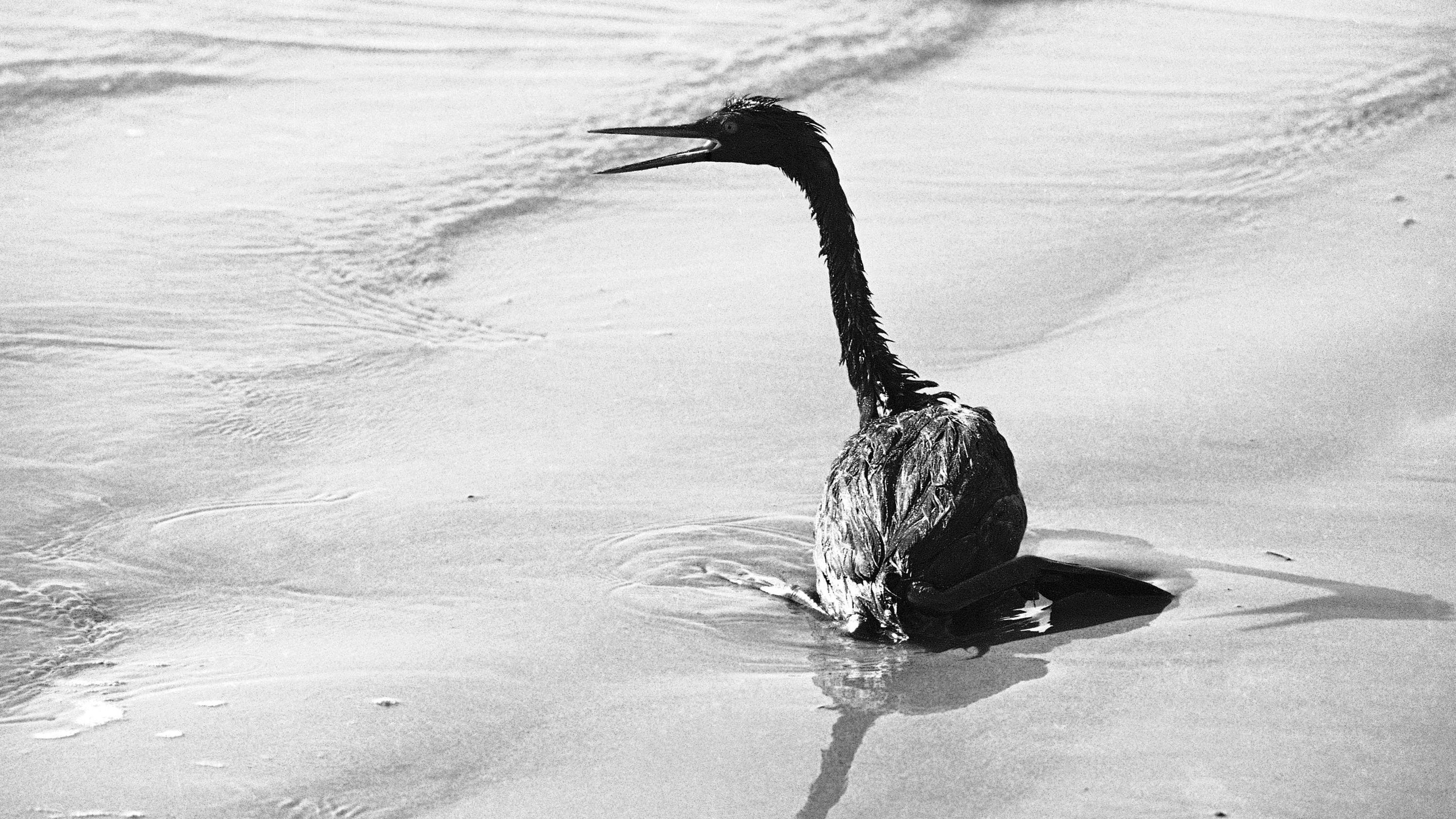 A Grebe on a beach in Santa Barbara, California, after the 1969 spill that led to the first Earth Day in 1970.