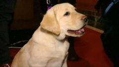 A Labrador Retriever puppy is photographed at an AKC event where he is crowned the best race in America