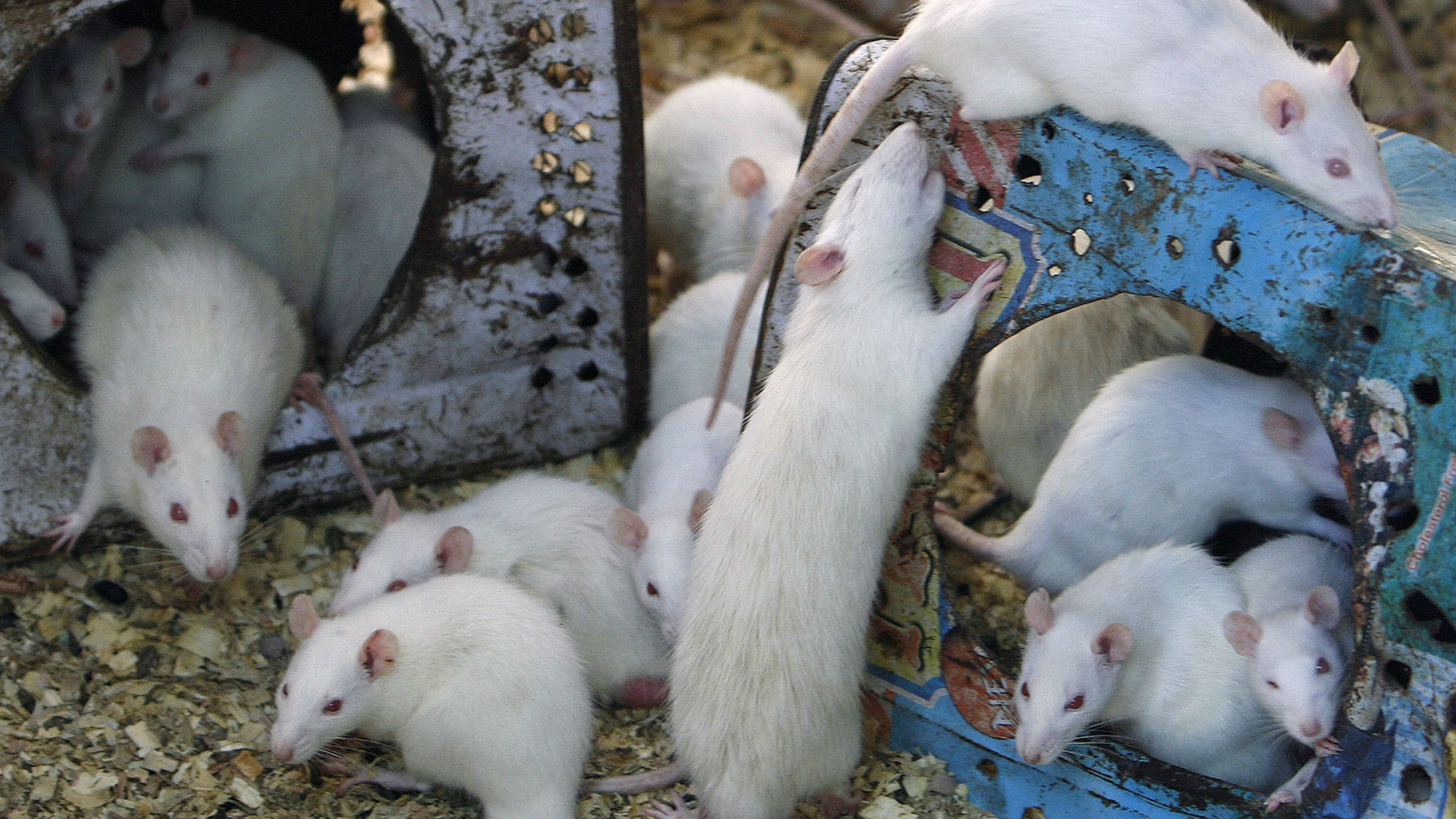 The Poop on House Mice: They Carry 'Superbugs'