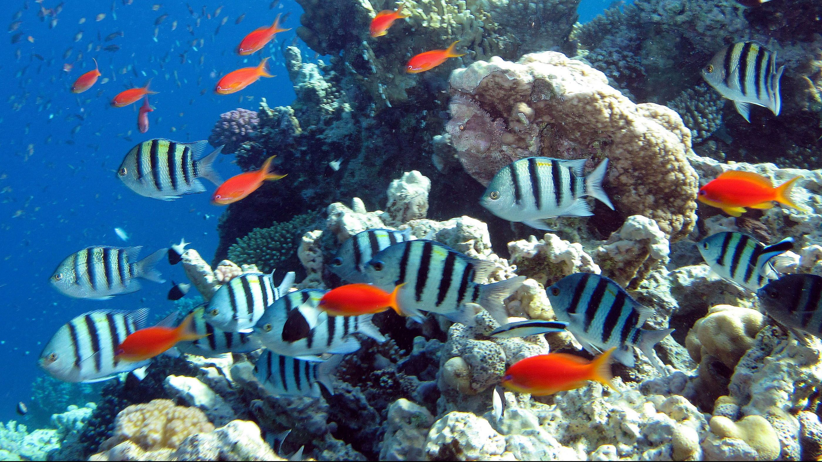 Fish swim past a reef in the Red Sea in Dahab