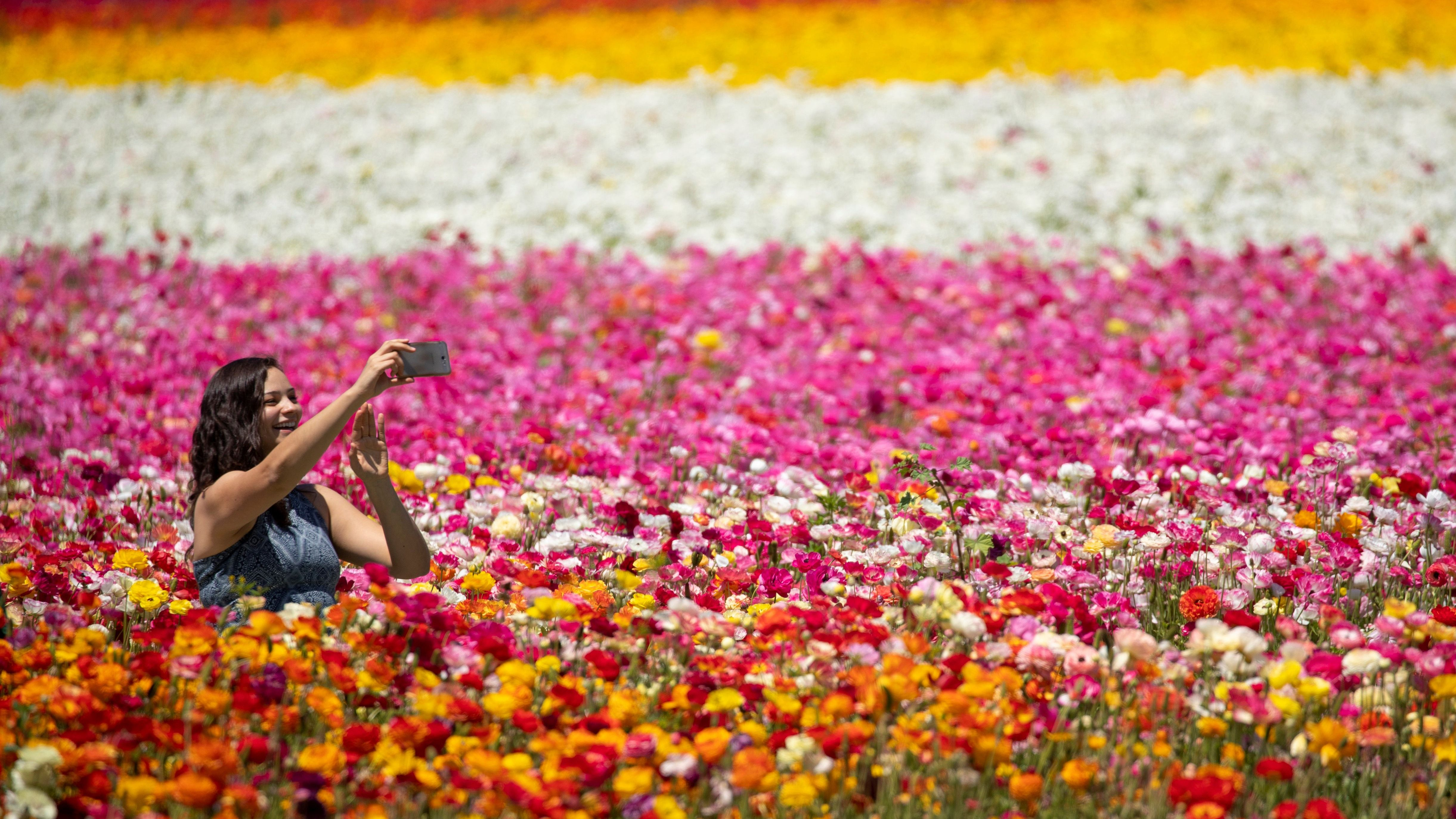 A women takes a selfie as she sits amid thousands of ranunculus flowers at the Flower Fields in Carlsbad, California