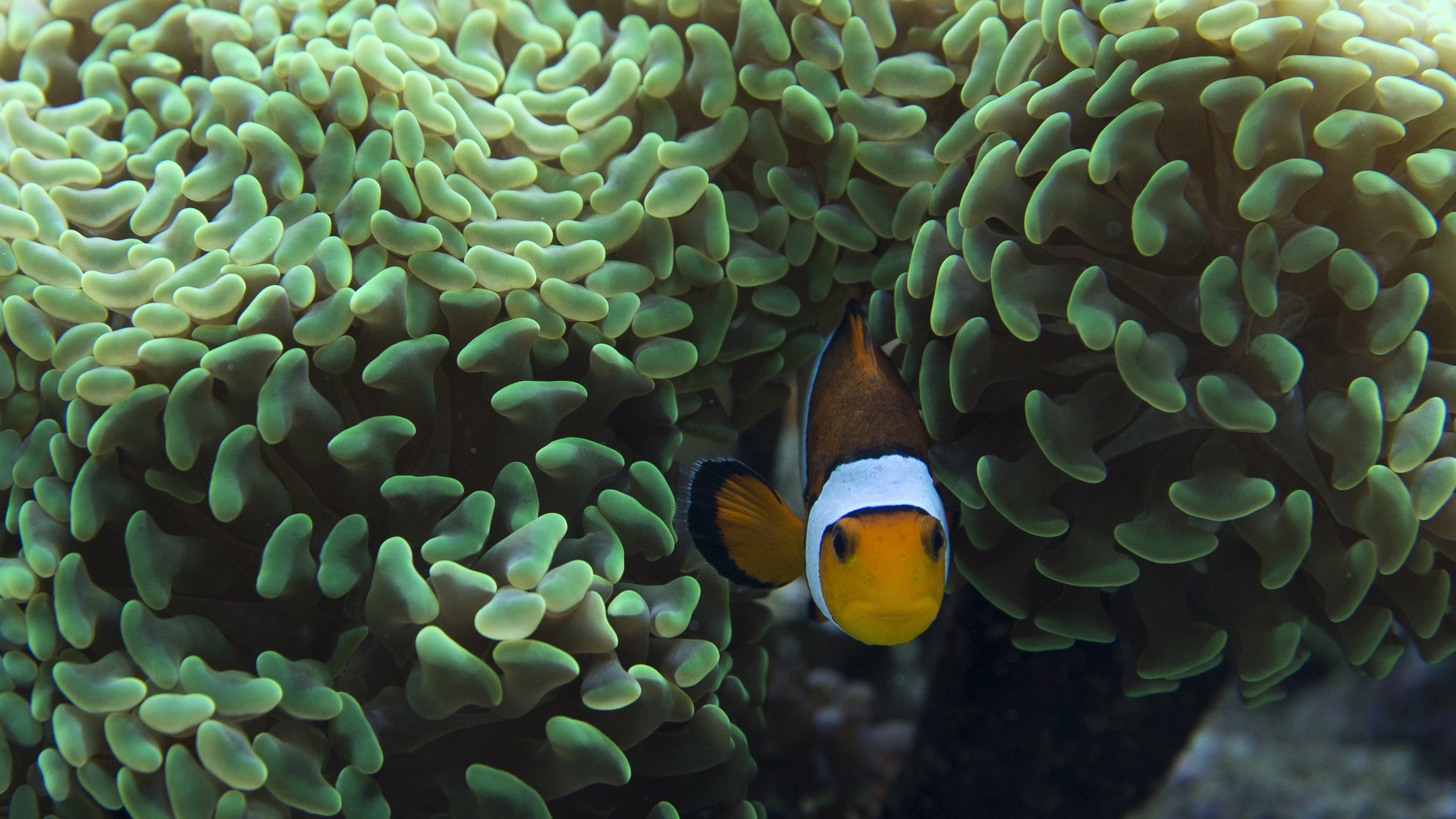 """A common clownfish-Amphiprion percular- in an aquarium is photographed during a media preview of 'Coral Reef - Secret Cities of the Sea' exhibition at the Natural History museum in London, Wednesday, March, 25, 2015. The museum's new show plunges into the underwater world, featuring a """"virtual dive"""" that provides a 180-degree view of five coral reefs controlled by a joystick, including one vista with a manta ray in Komodo Island, Indonesia.  (AP Photo/Alastair Grant)"""