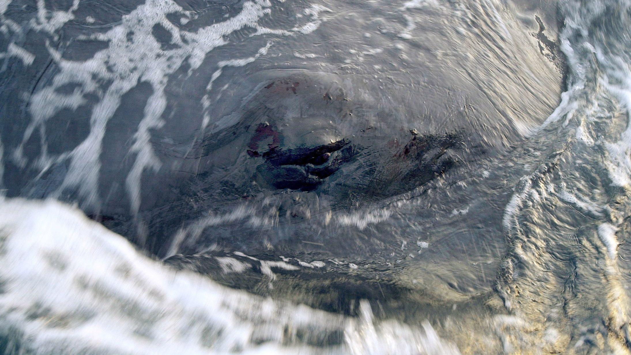 Eye of a sperm whale.