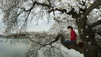 spring reading in a cherry blossomed tree
