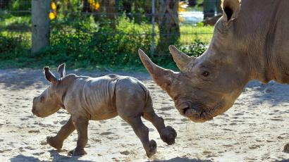 The San Diego Zoo is trying to use IVF to save the northern
