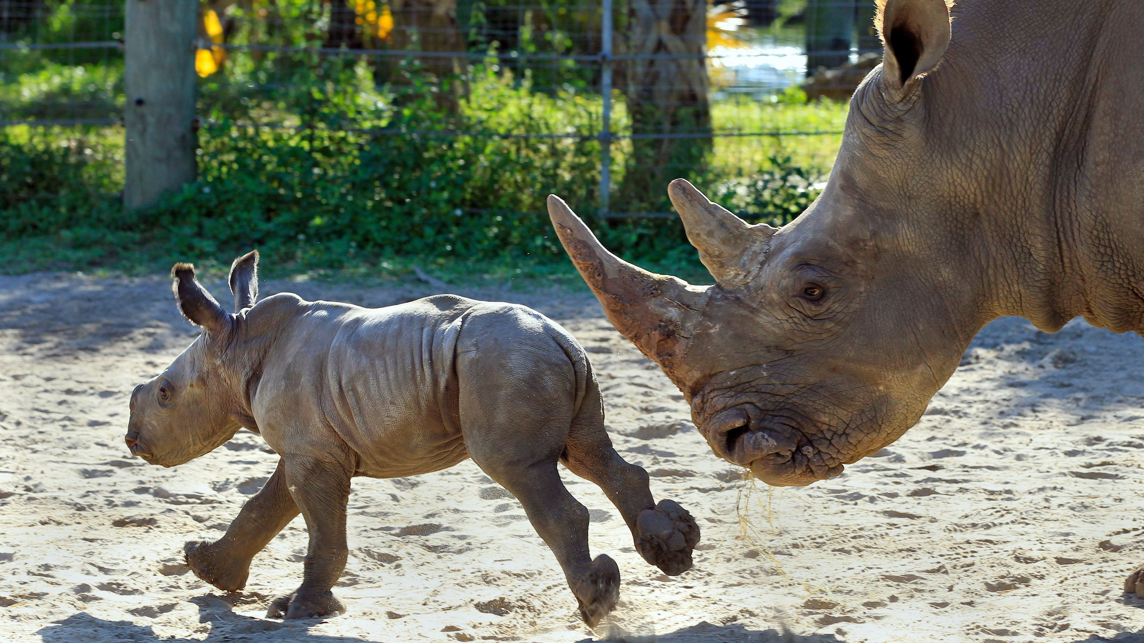 Kidogo, a Southern White Rhinoceros, keeps an eye on her one-week-old calf as the newborn runs Wednesday, Dec. 14, 2011, at Tampa's Lowry Park Zoo in Tampa, Fla. The zoo has launched a naming contest for the baby rhino on it's Facebook page. The contest ends Dec. 23, 2011, in order for the newborn to have her name for Christmas.