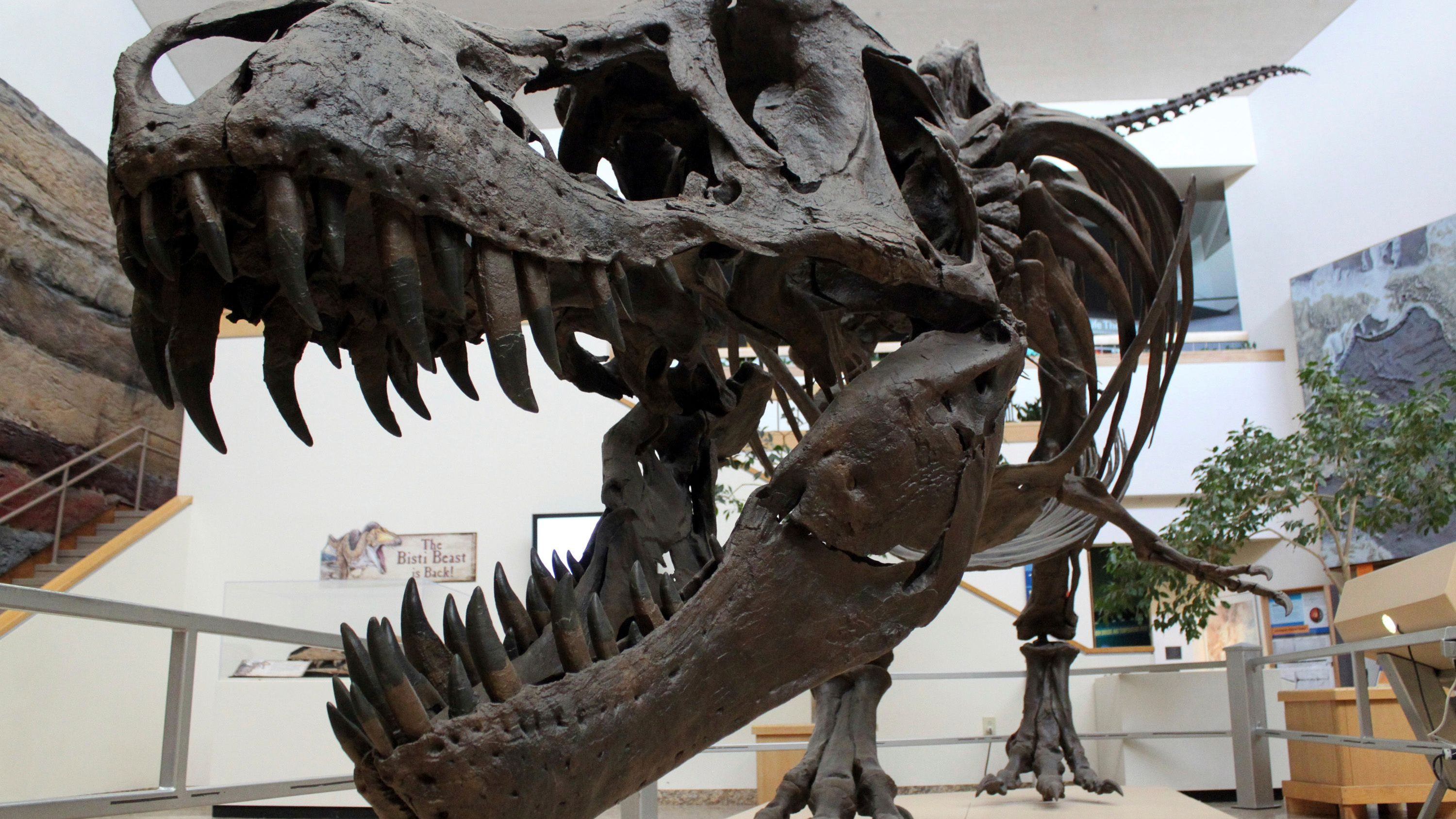 A model of a monstrous, bone-crushing Tyrannosaurus rex sits on display in the main room of the New Mexico Museum of Natural History and Science in Albuquerque, N.M., on Tuesday, Aug. 15, 2017. Museum curator of paleontology Thomas Williamson discovered the fossil remains of a T. rex relative in northwestern New Mexico in 1996 and worked with researchers at Los Alamos National Laboratory last fall to scan the skull in hopes of gleaning new information about the evolution of the predators.